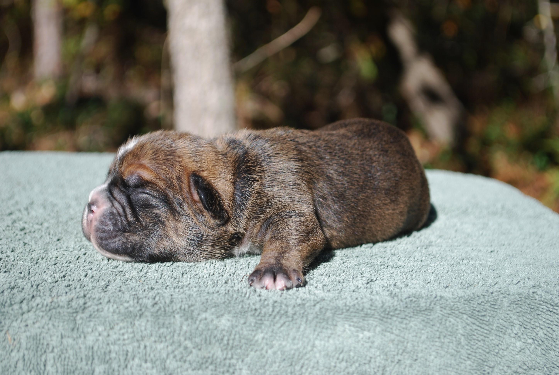 KJ Olde English Bulldogge Puppy For Sale | Photo 1
