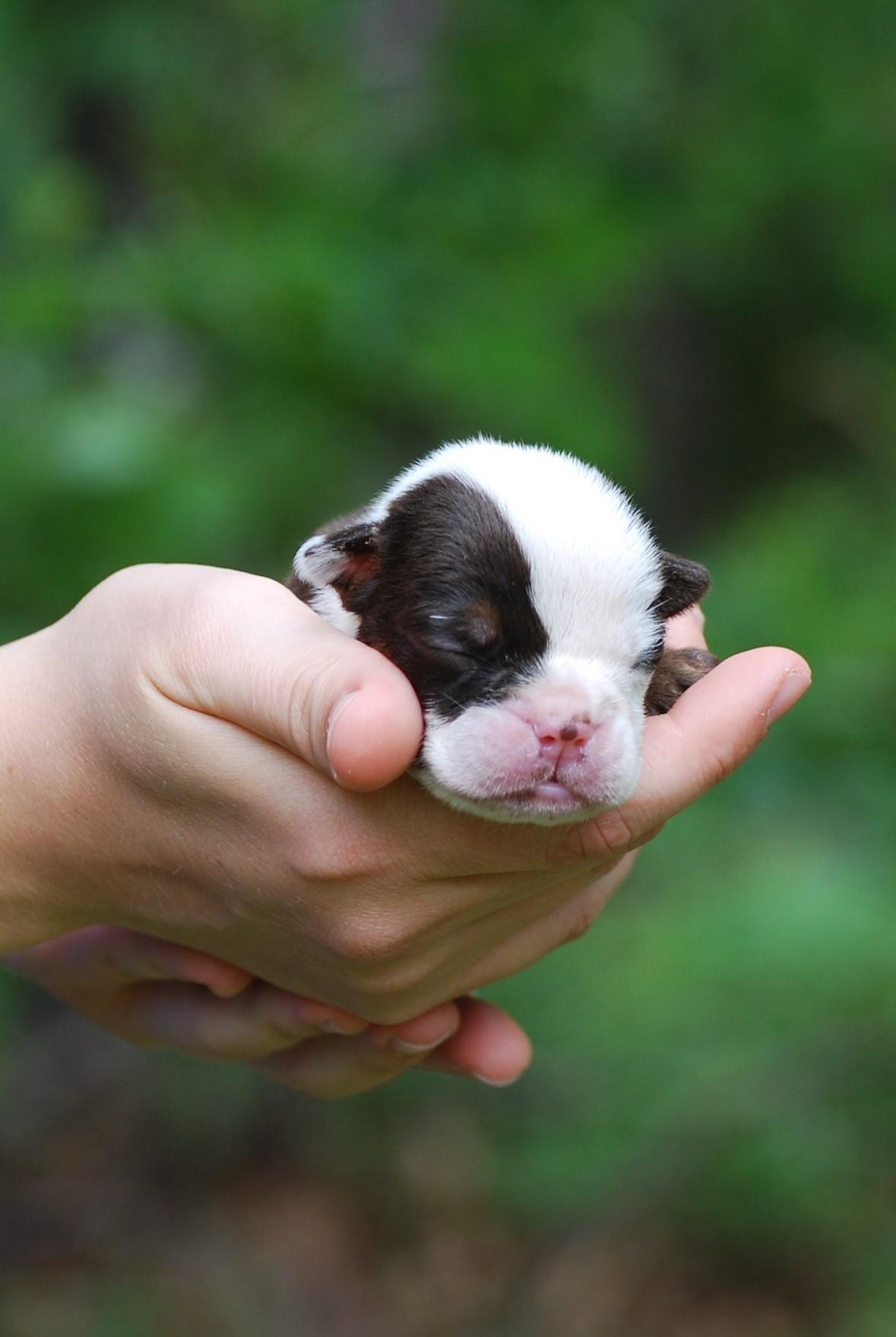 Sammy Olde English Bulldogge Puppy For Sale | Photo 2