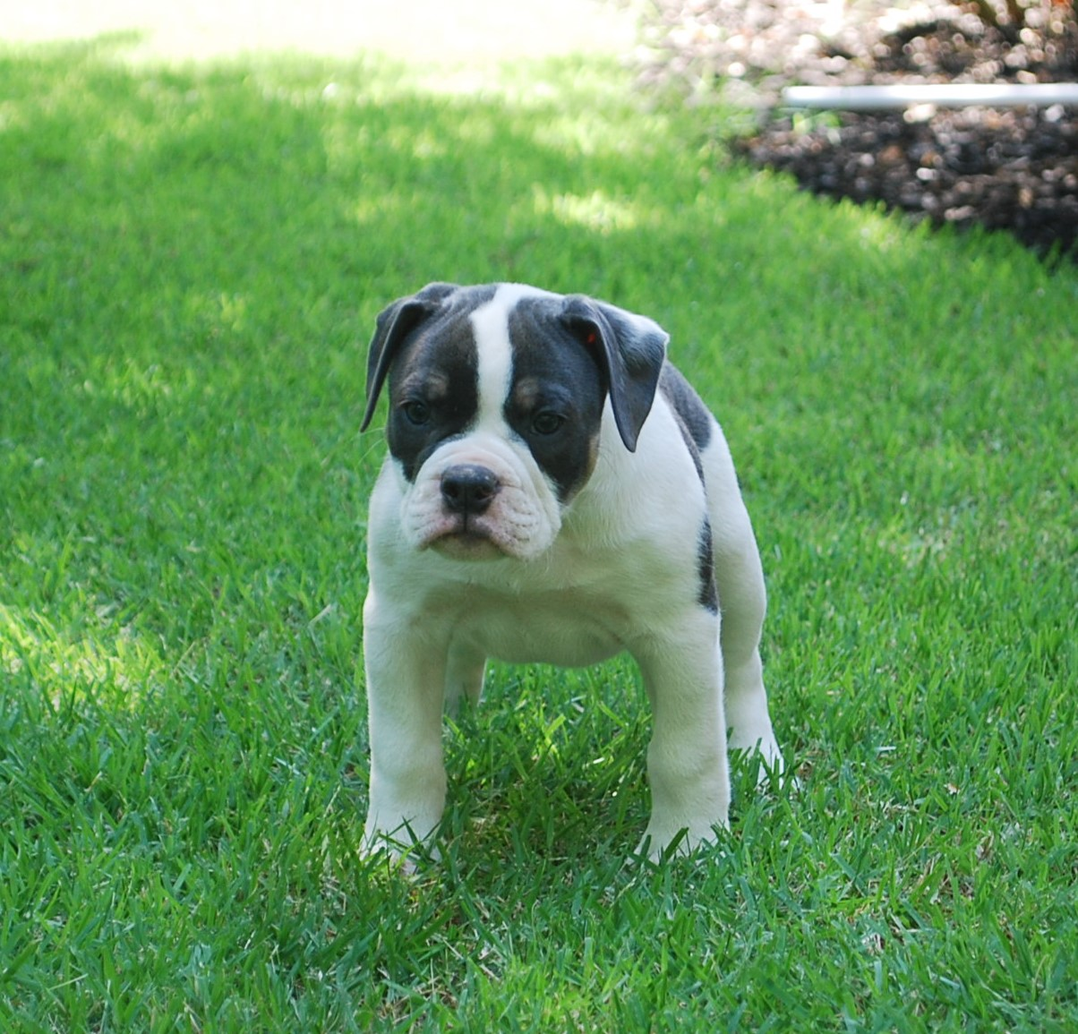 Abby Olde English Bulldogge Puppy For Sale | Photo 1