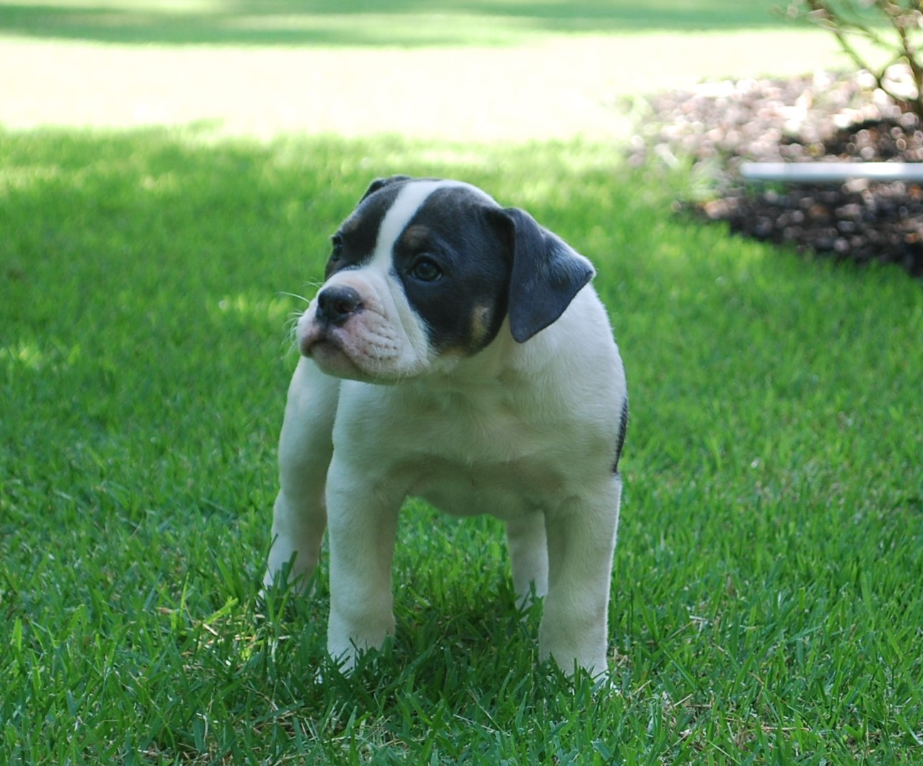 Abby Olde English Bulldogge Puppy For Sale | Photo 2