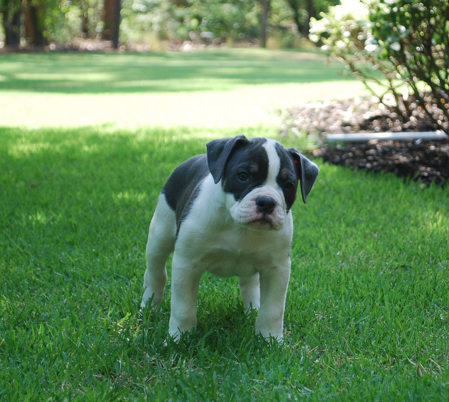 Abby Olde English Bulldogge Puppy For Sale | Photo 3