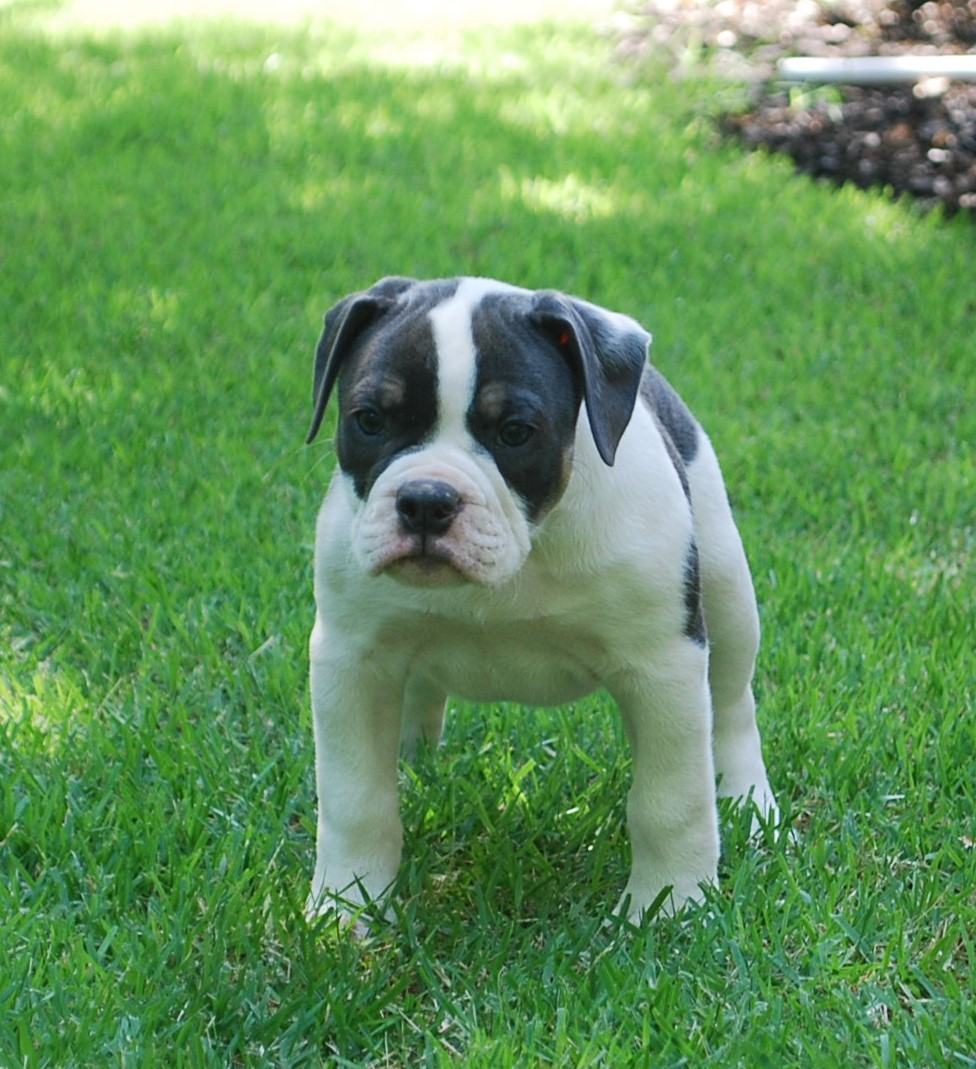 Abby Olde English Bulldogge Puppy For Sale | Photo 4