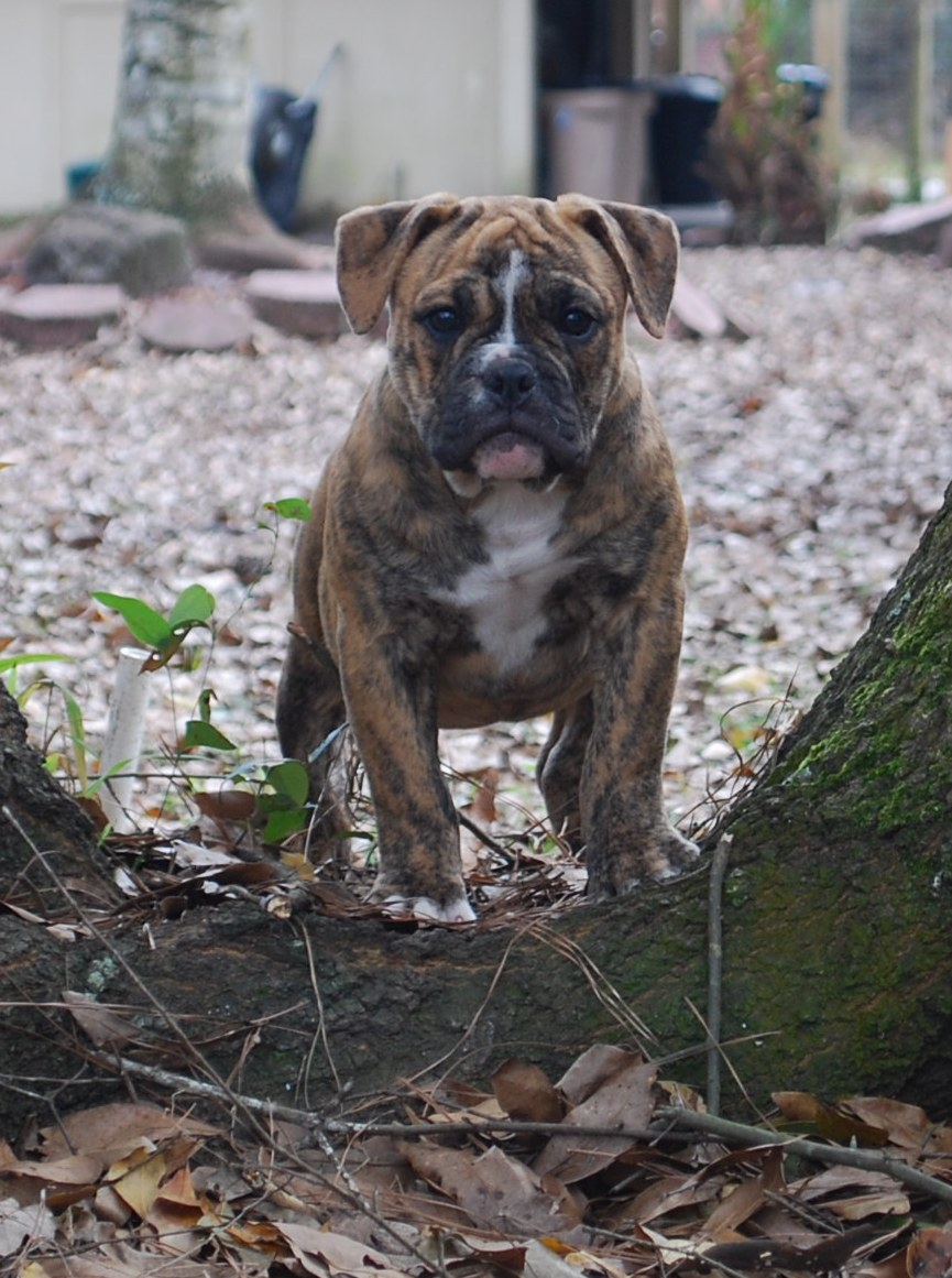 Bianca Olde English Bulldogge Puppy For Sale | Photo 1