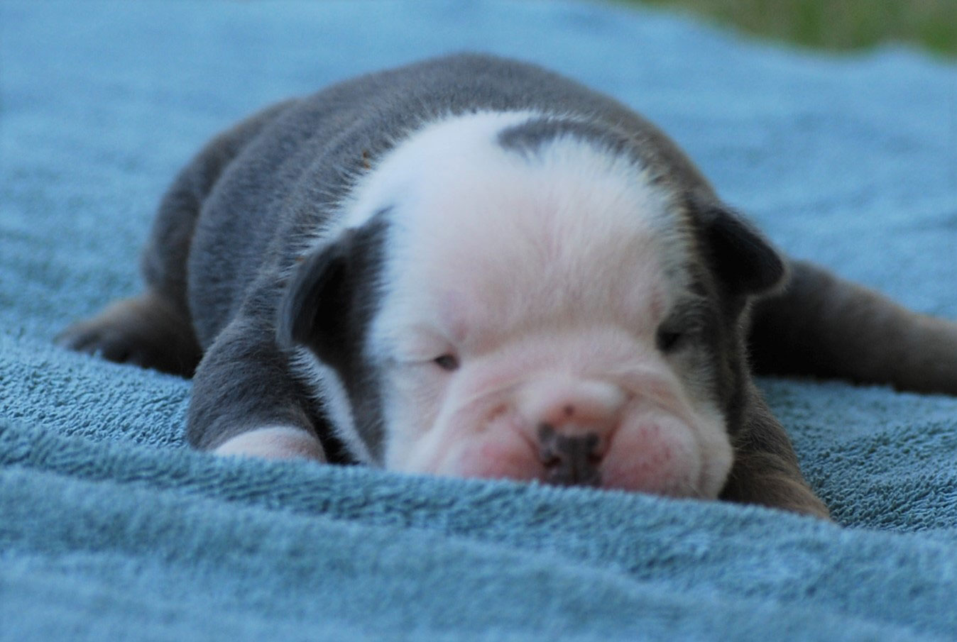 Biker Olde English Bulldogge Puppy For Sale | Photo 3