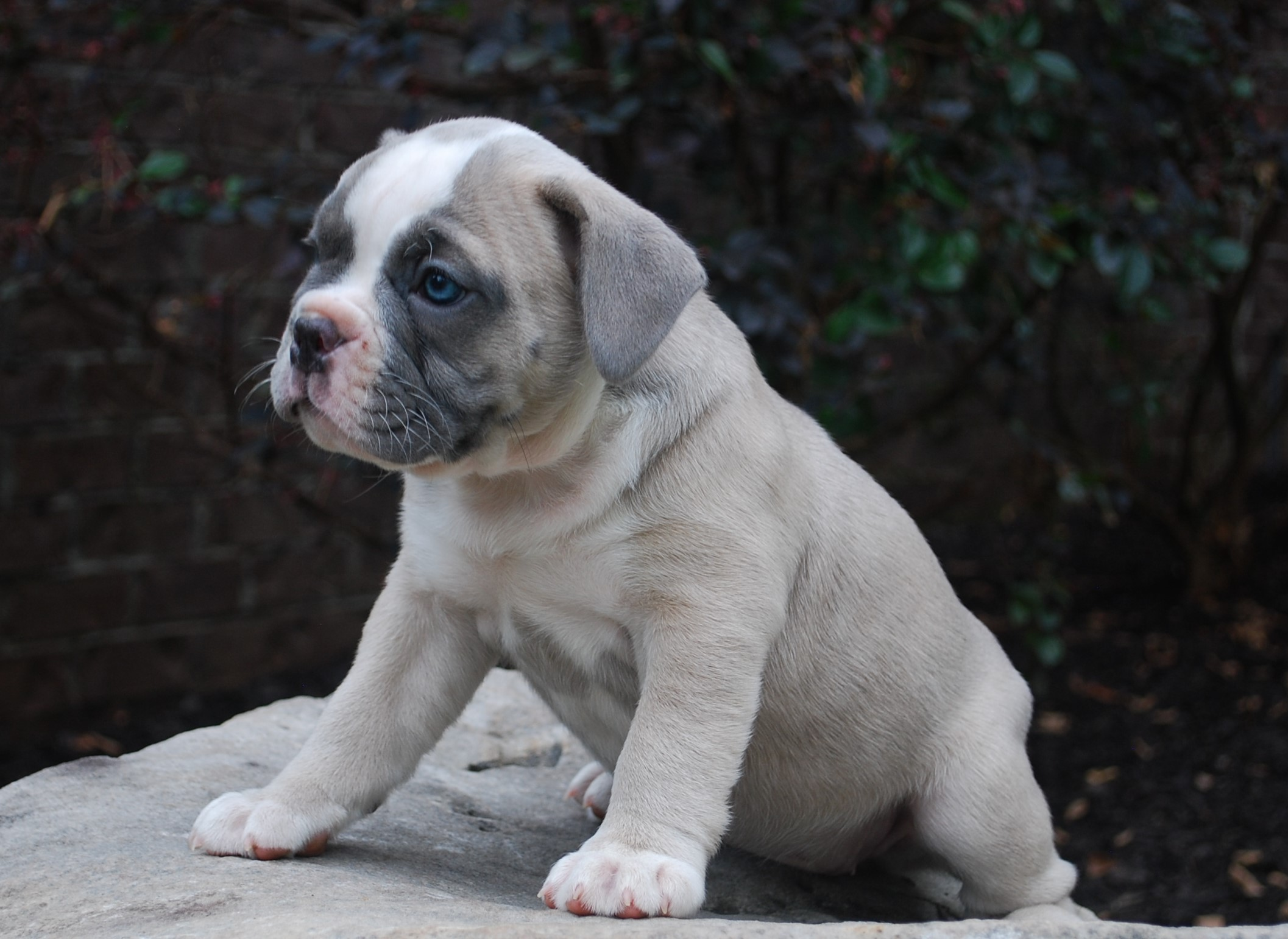 Blossom Olde English Bulldogge Puppy For Sale | Photo 0