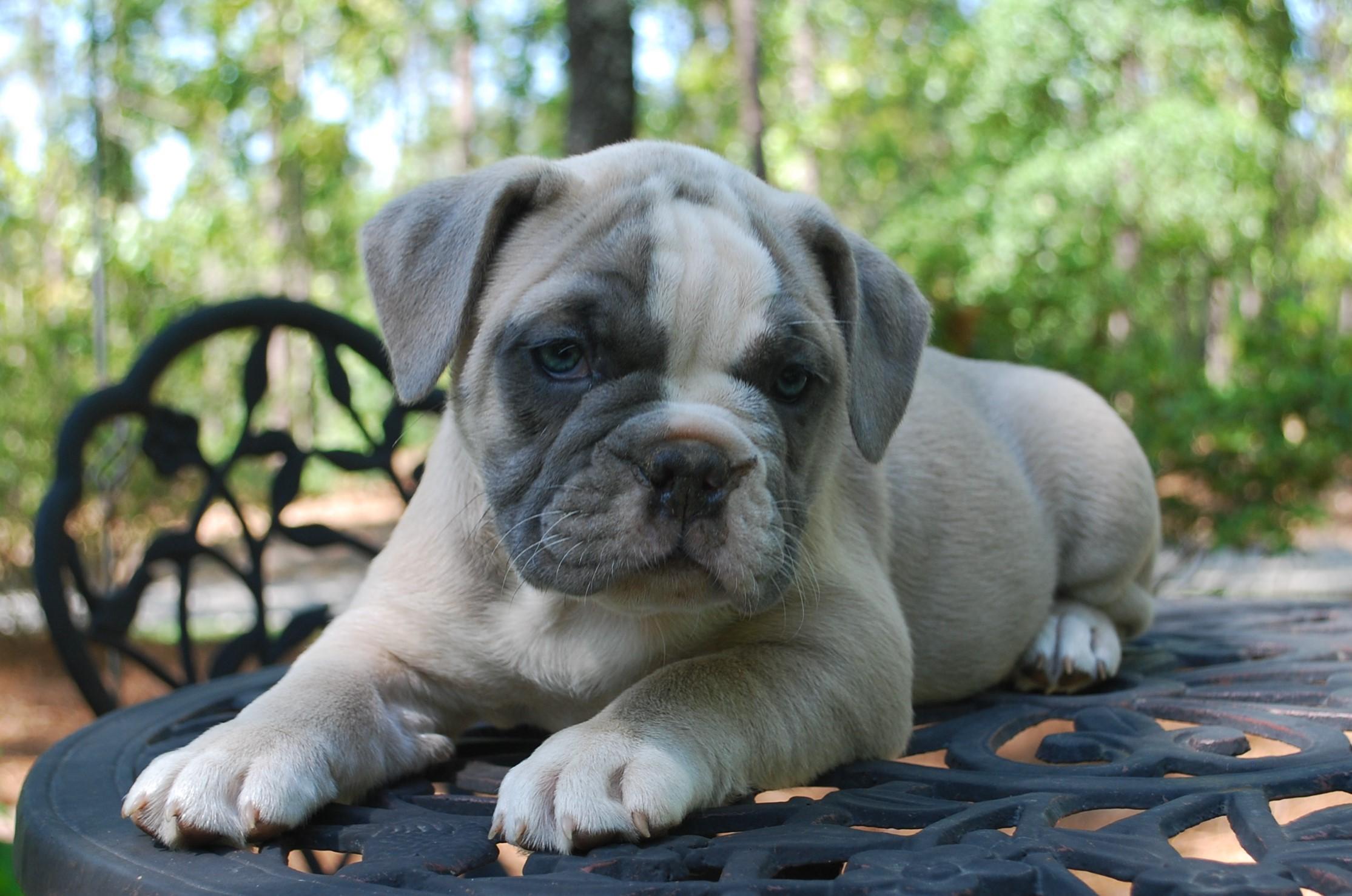 Blossom Olde English Bulldogge Puppy For Sale | Photo 2