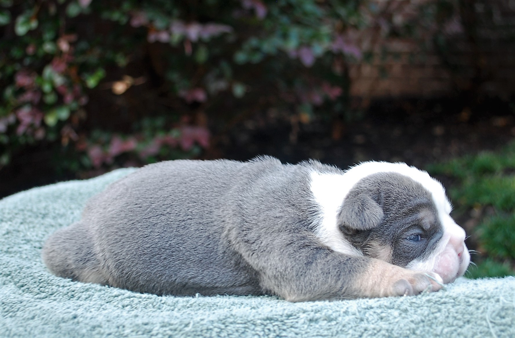 Cooper Olde English Bulldogge Puppy For Sale | Photo 1