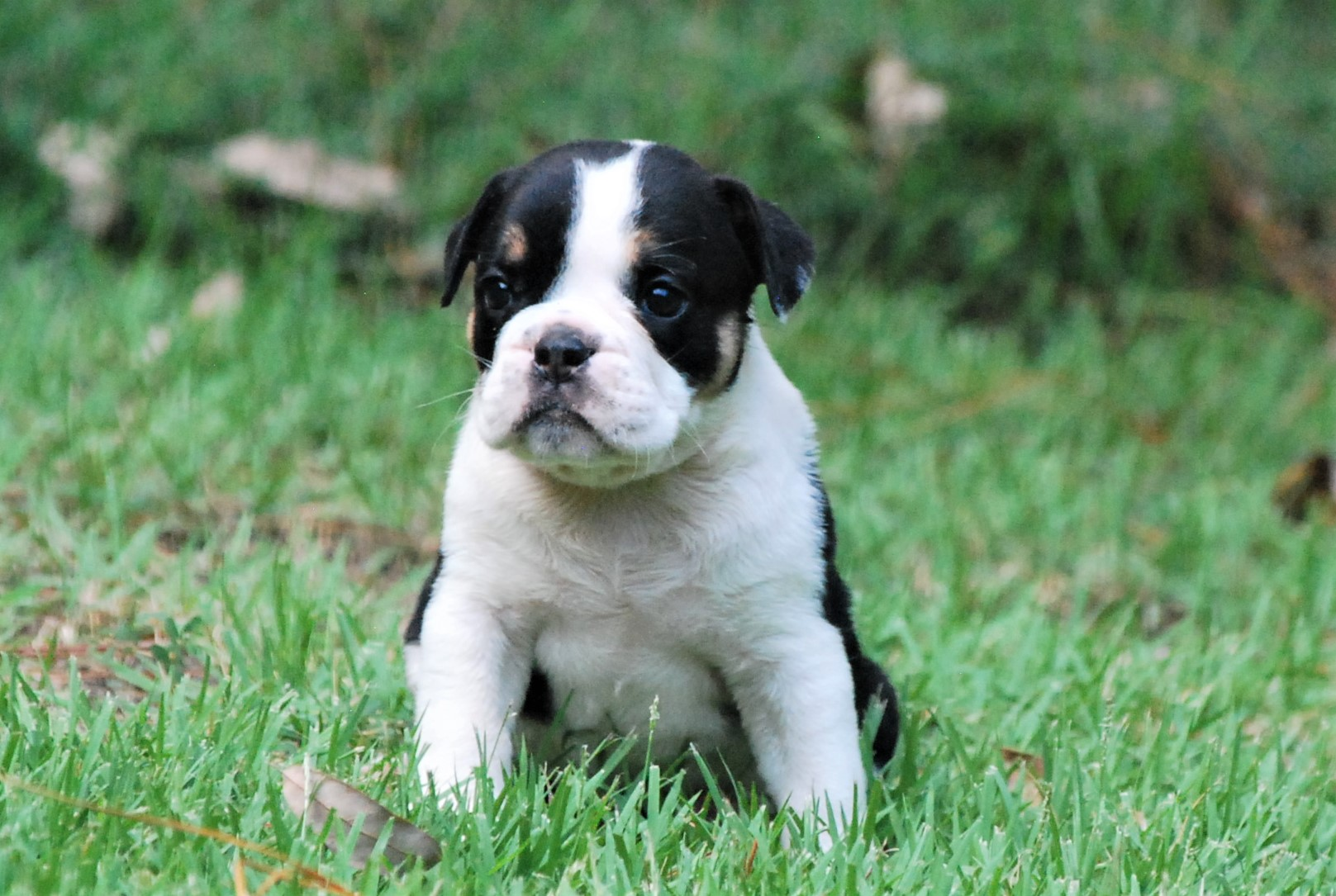 Old English Bulldog Puppy Clementine (SOLD)