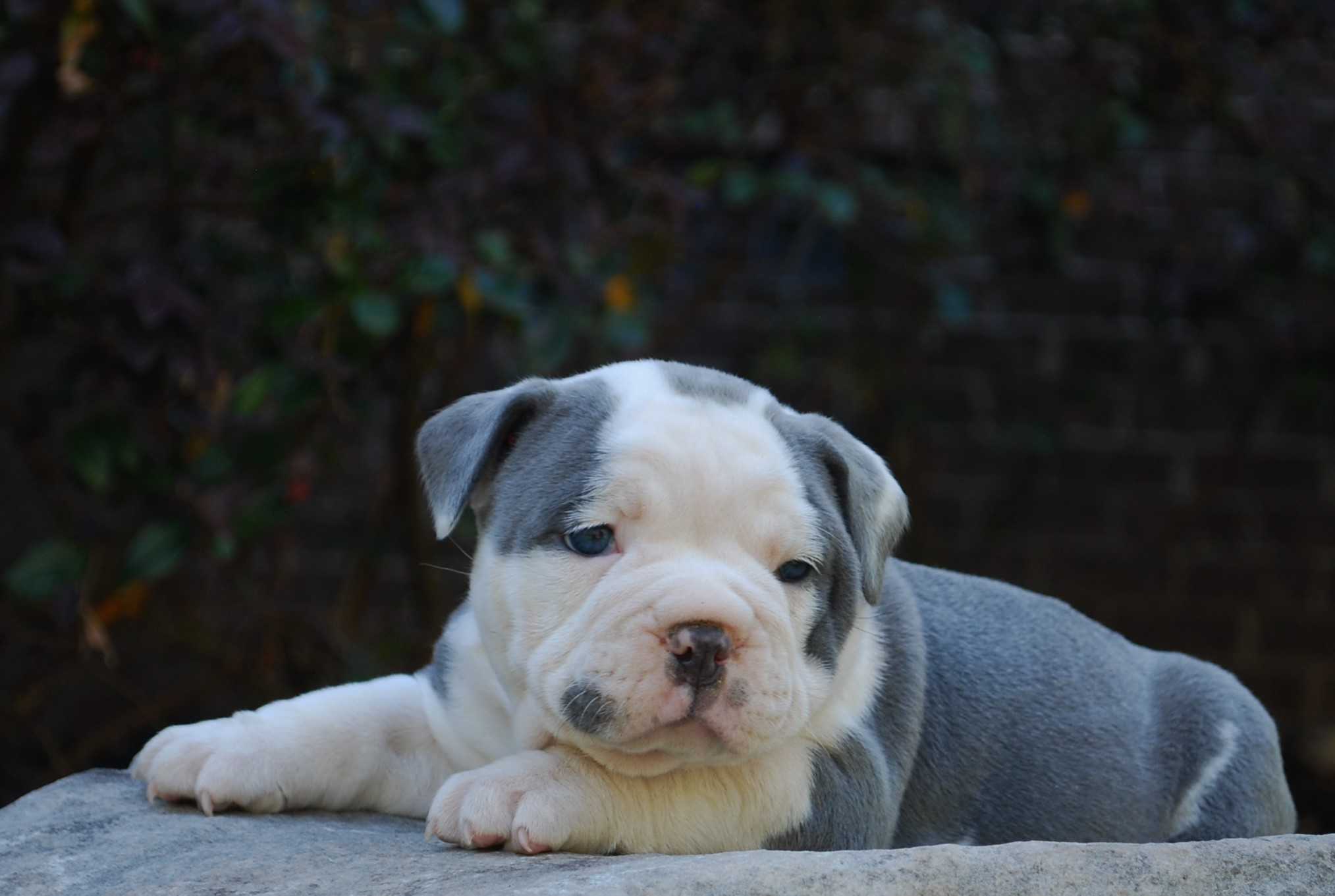 Clementine Olde English Bulldogge Puppy For Sale | Photo 3