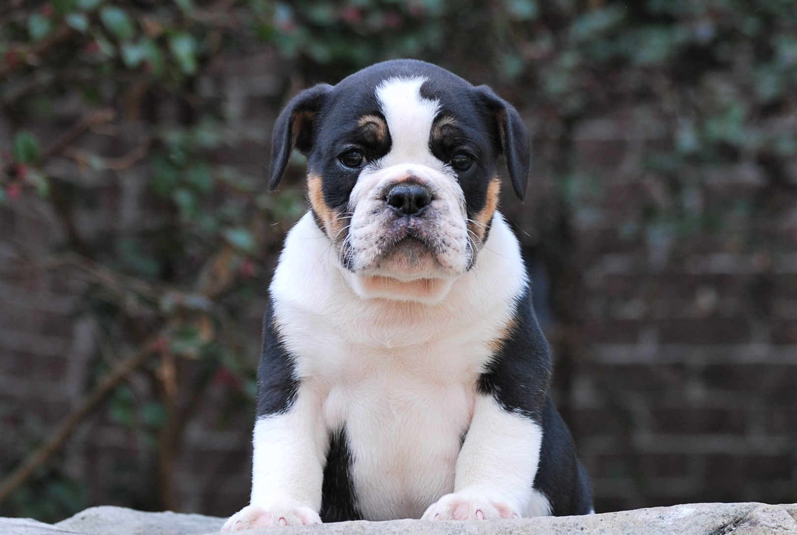 Old English Bulldog Puppy Dodger (Sold)