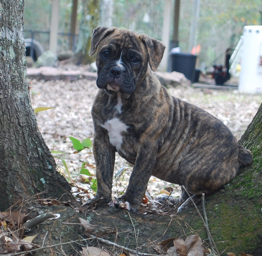 Faith Olde English Bulldogge Puppy For Sale | Photo 0