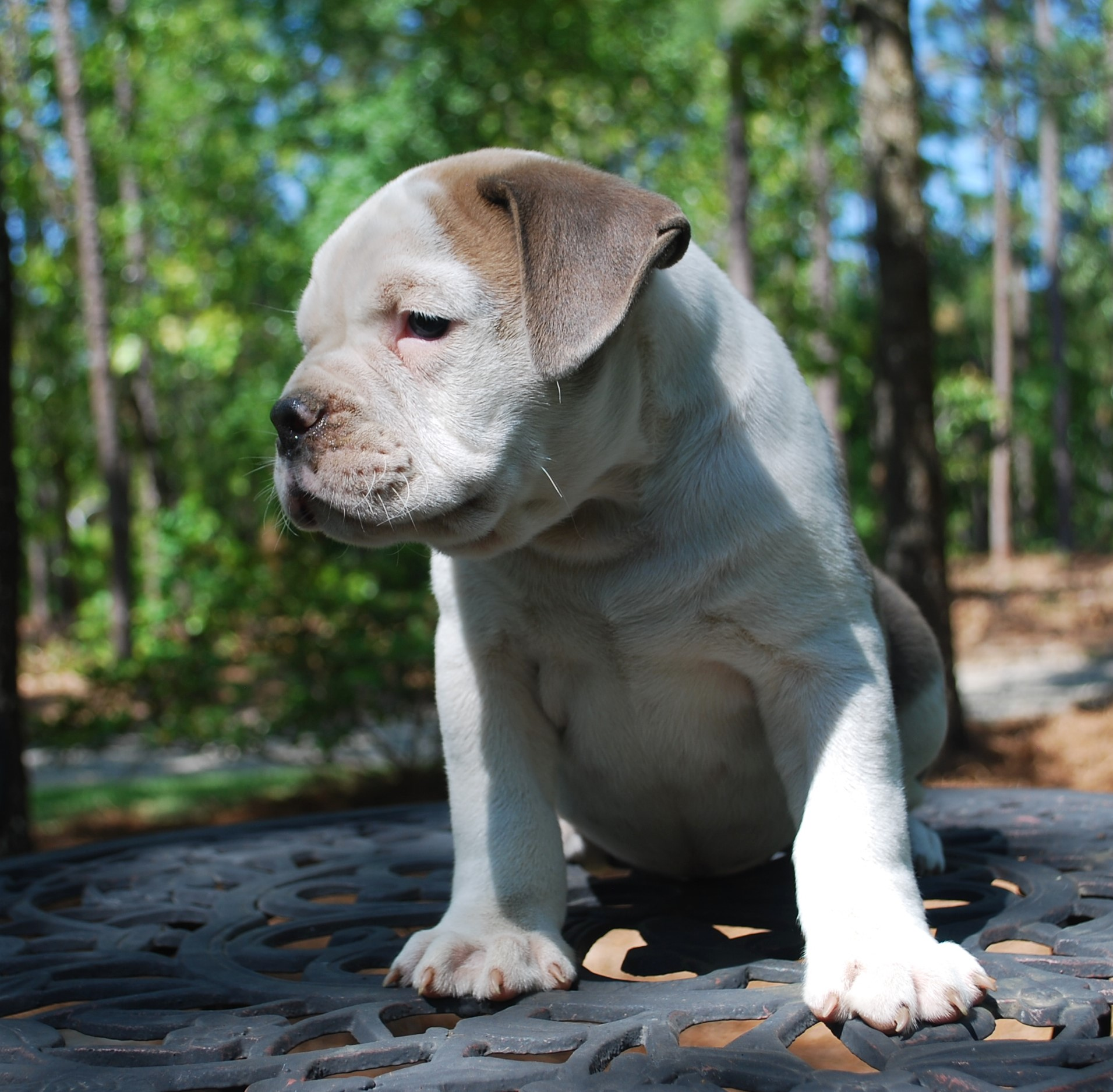 Gibbs Olde English Bulldogge Puppy For Sale | Photo 0