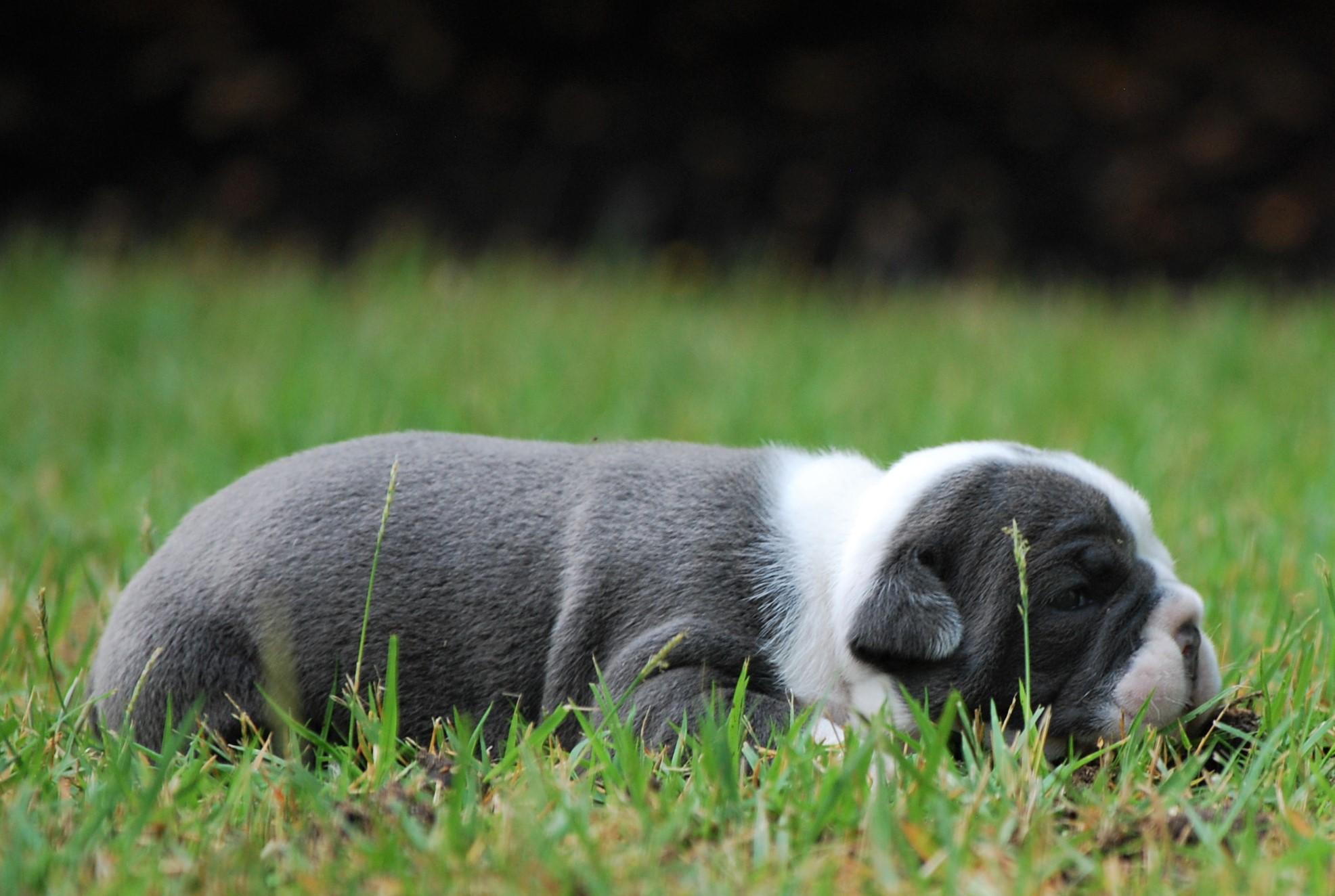 Gladys Olde English Bulldogge Puppy For Sale | Photo 2