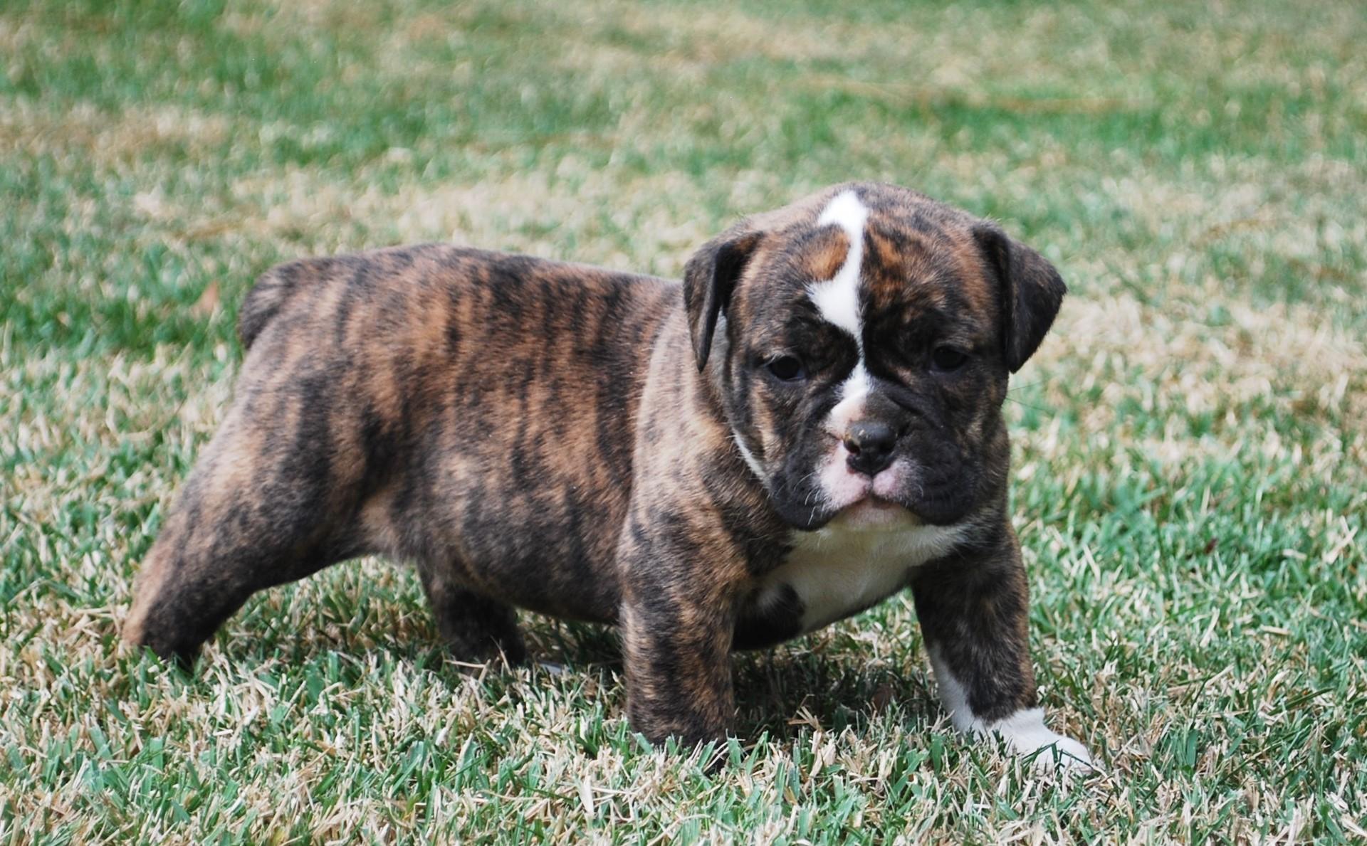 Hattie Olde English Bulldogge Puppy For Sale | Photo 1