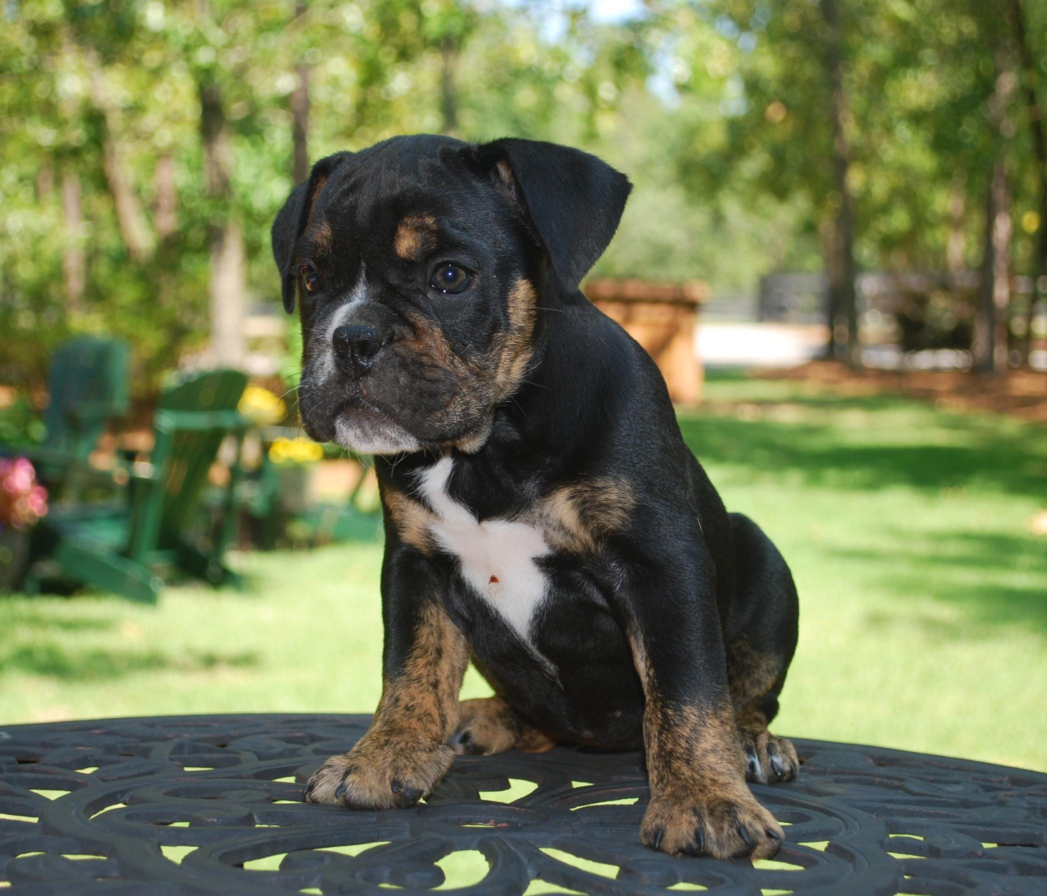 Hallie Olde English Bulldogge Puppy For Sale | Photo 3