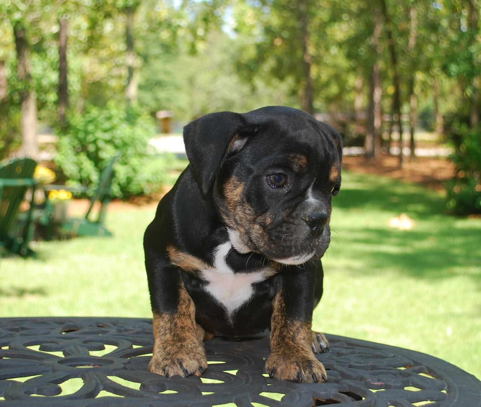 Hallie Olde English Bulldogge Puppy For Sale | Photo 0