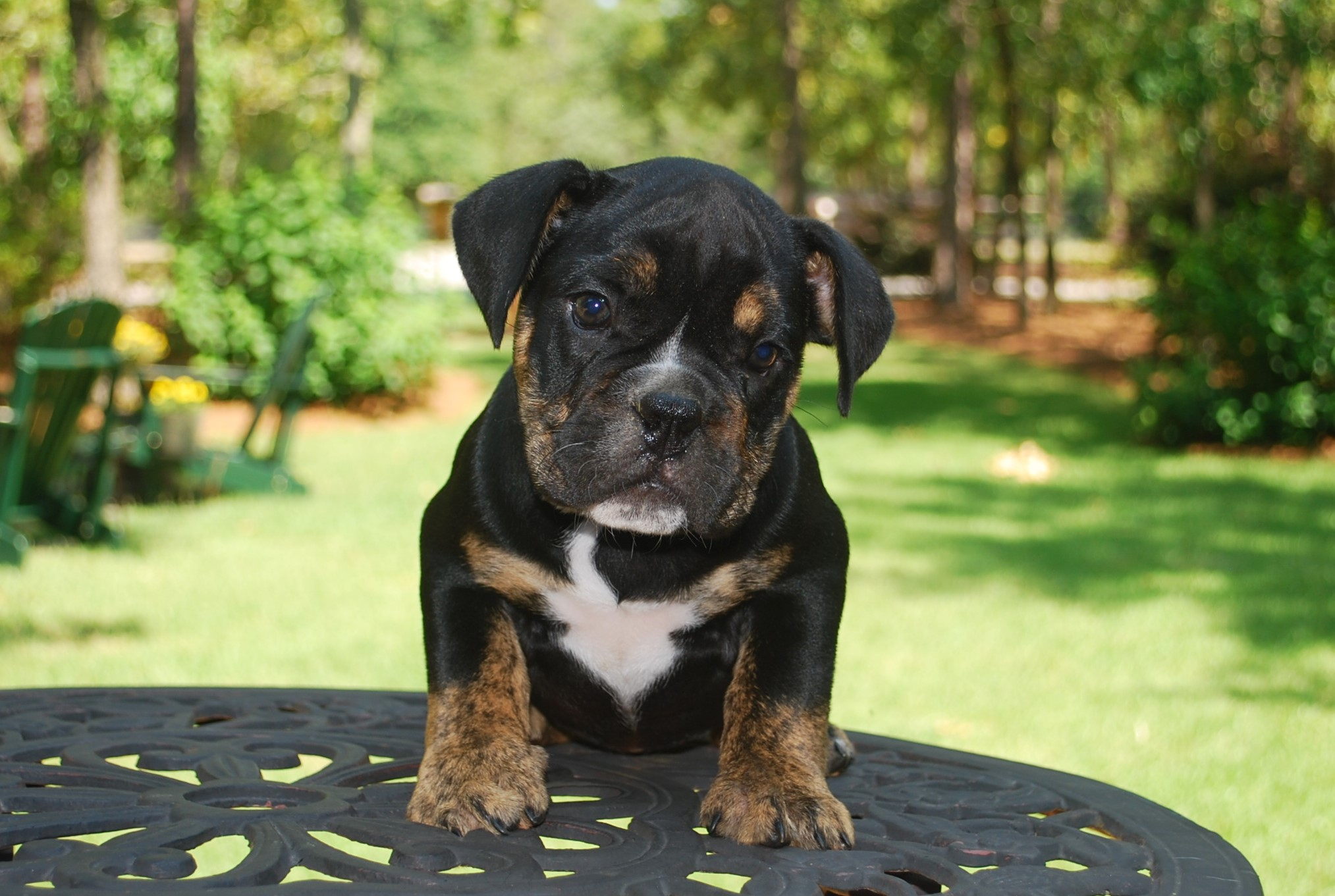 Hallie Olde English Bulldogge Puppy For Sale | Photo 1