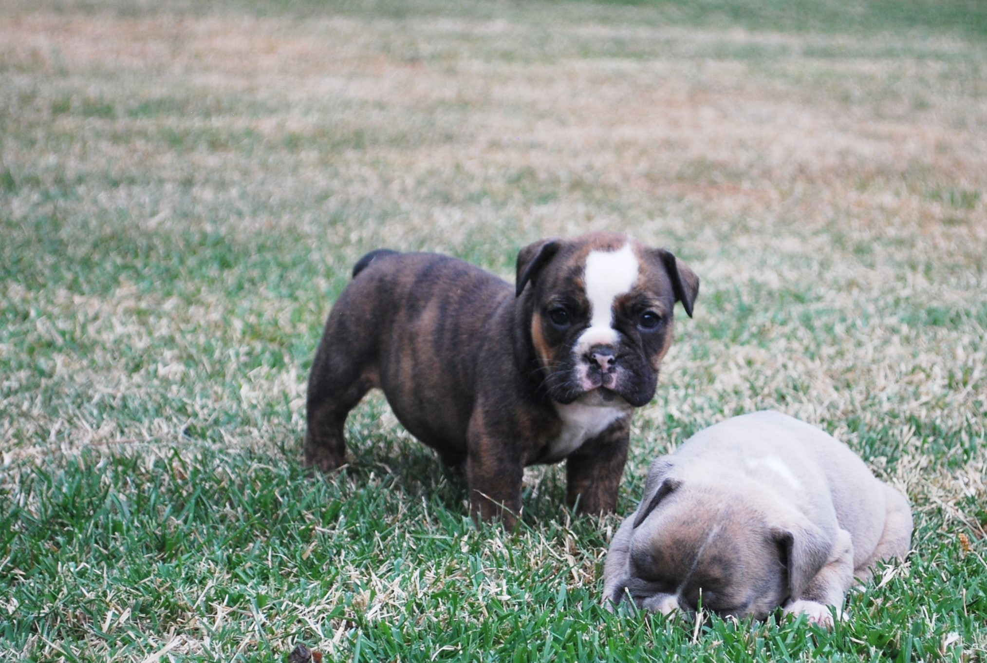 Hazel Olde English Bulldogge Puppy For Sale | Photo 4