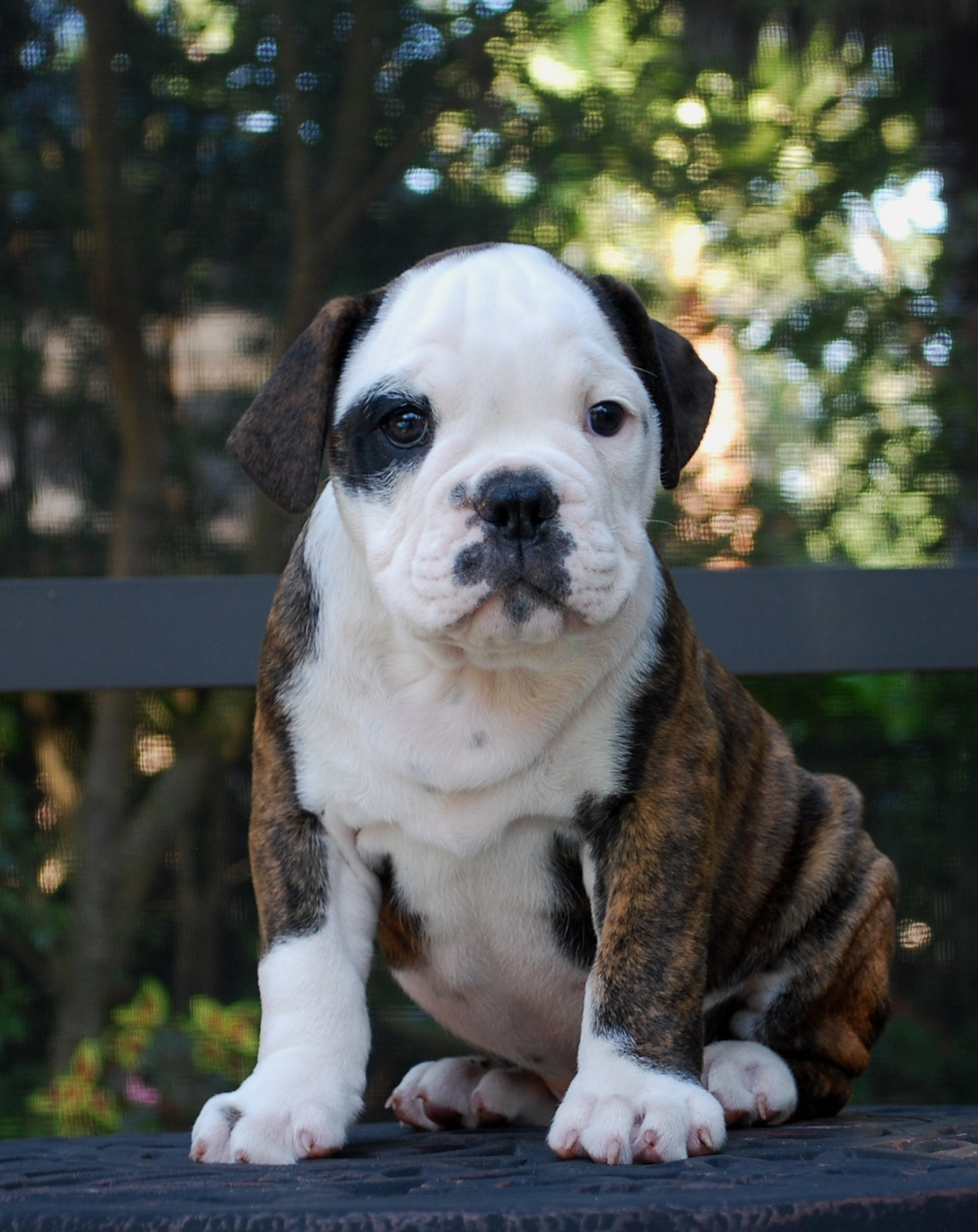 Hermes Olde English Bulldogge Puppy For Sale | Photo 3