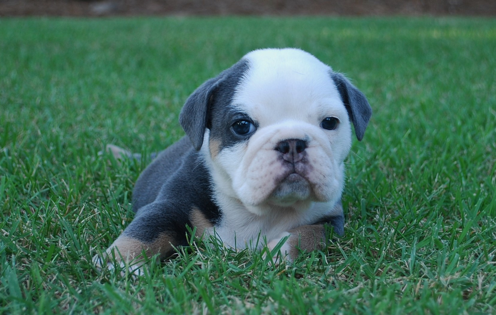 Blue Iris Olde English Bulldogge Puppy For Sale | Photo 0