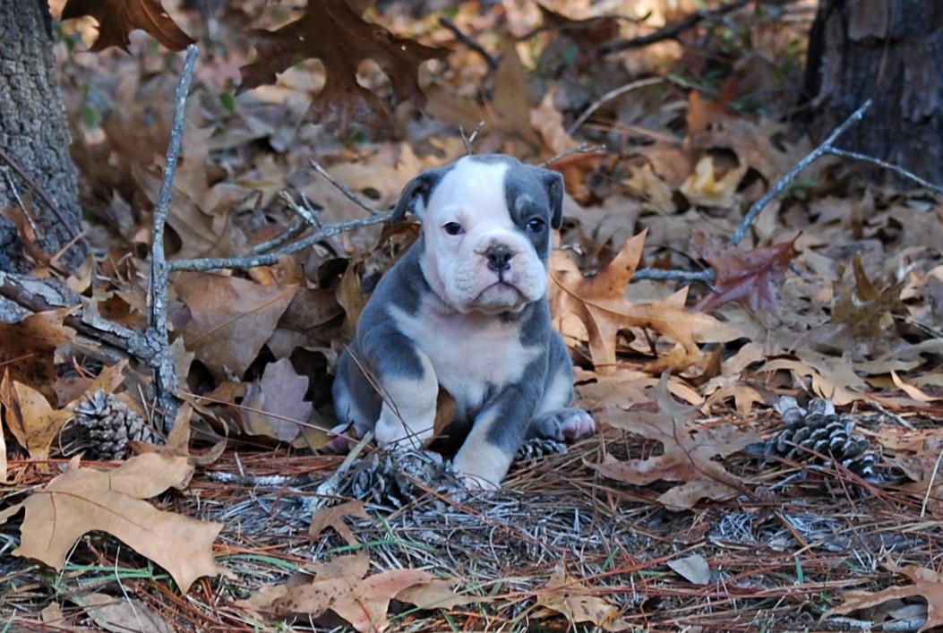 Lulu Olde English Bulldogge Puppy For Sale | Photo 4