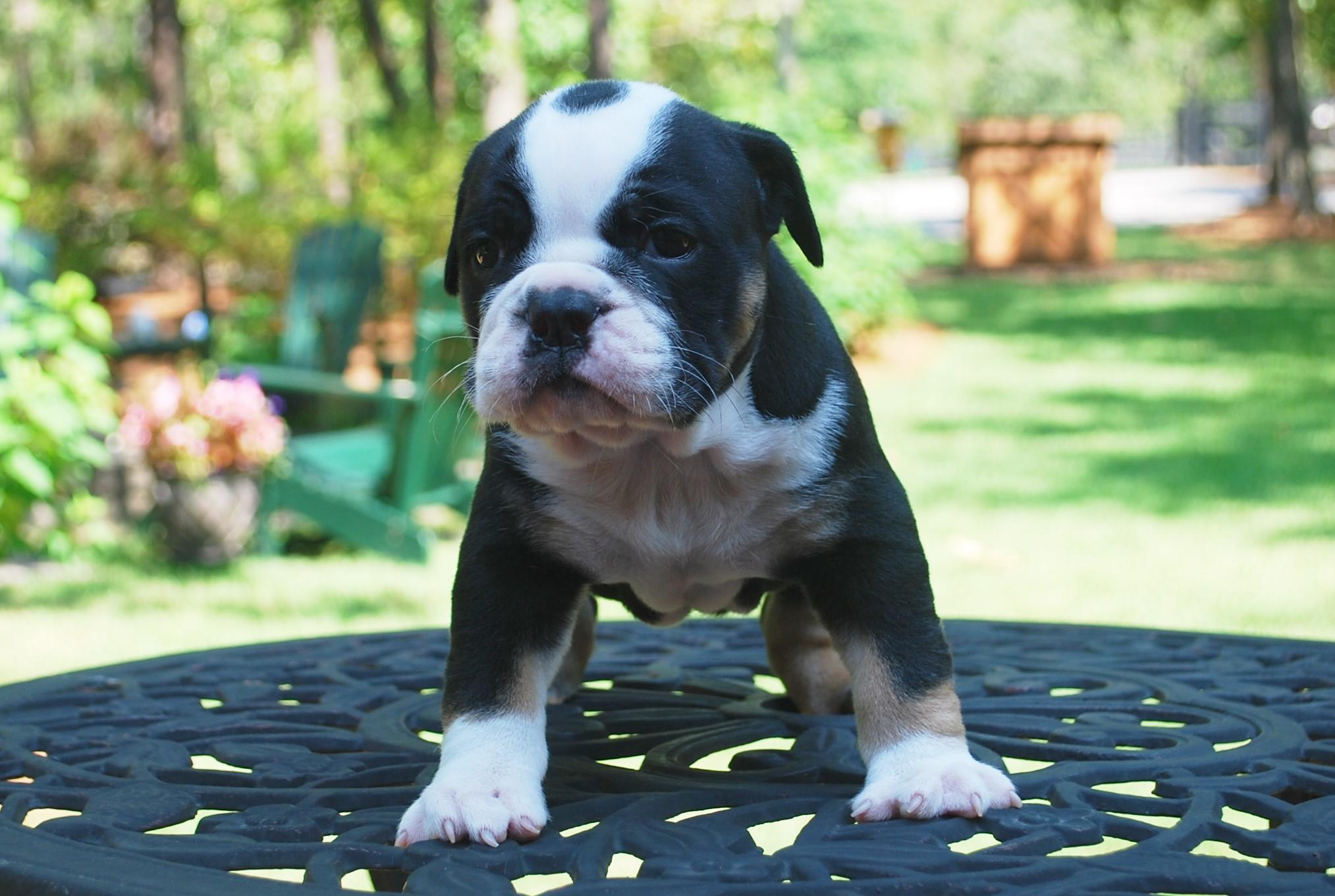 Moglie Olde English Bulldogge Puppy For Sale | Photo 2