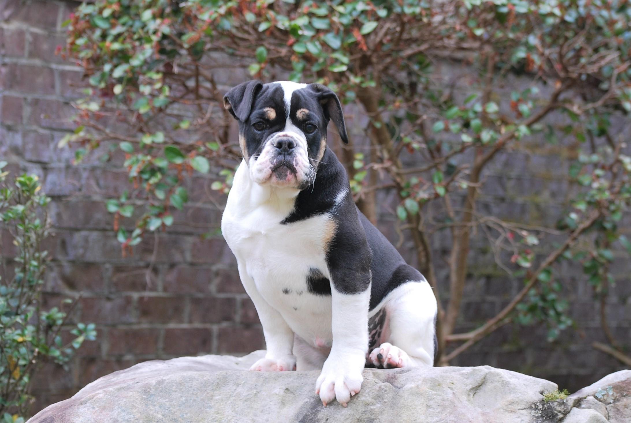 Old English Bulldog Puppy Nala (SOLD)