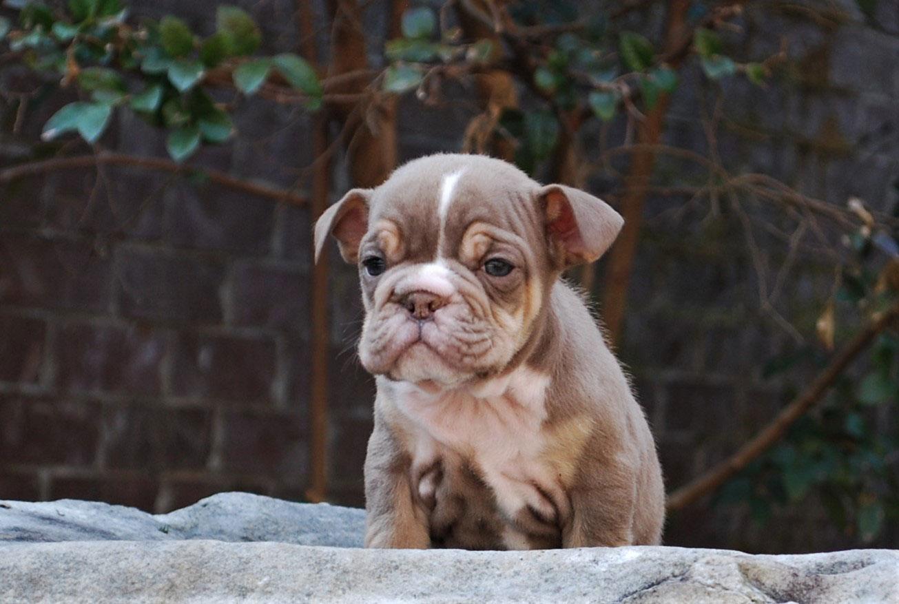 Nugget Olde English Bulldogge Puppy For Sale | Photo 0