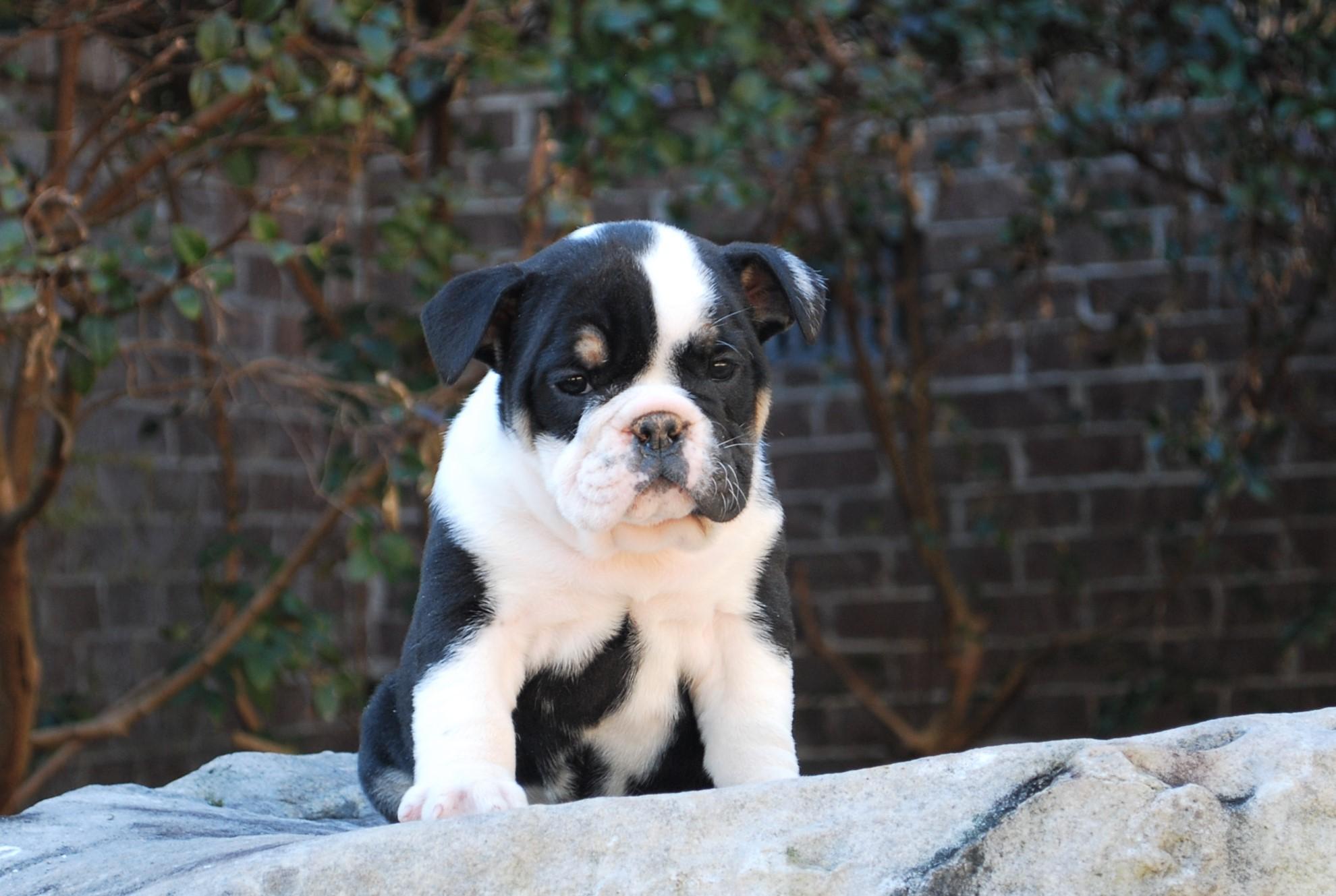 Old English Bulldog Puppy Patsie (SOLD)