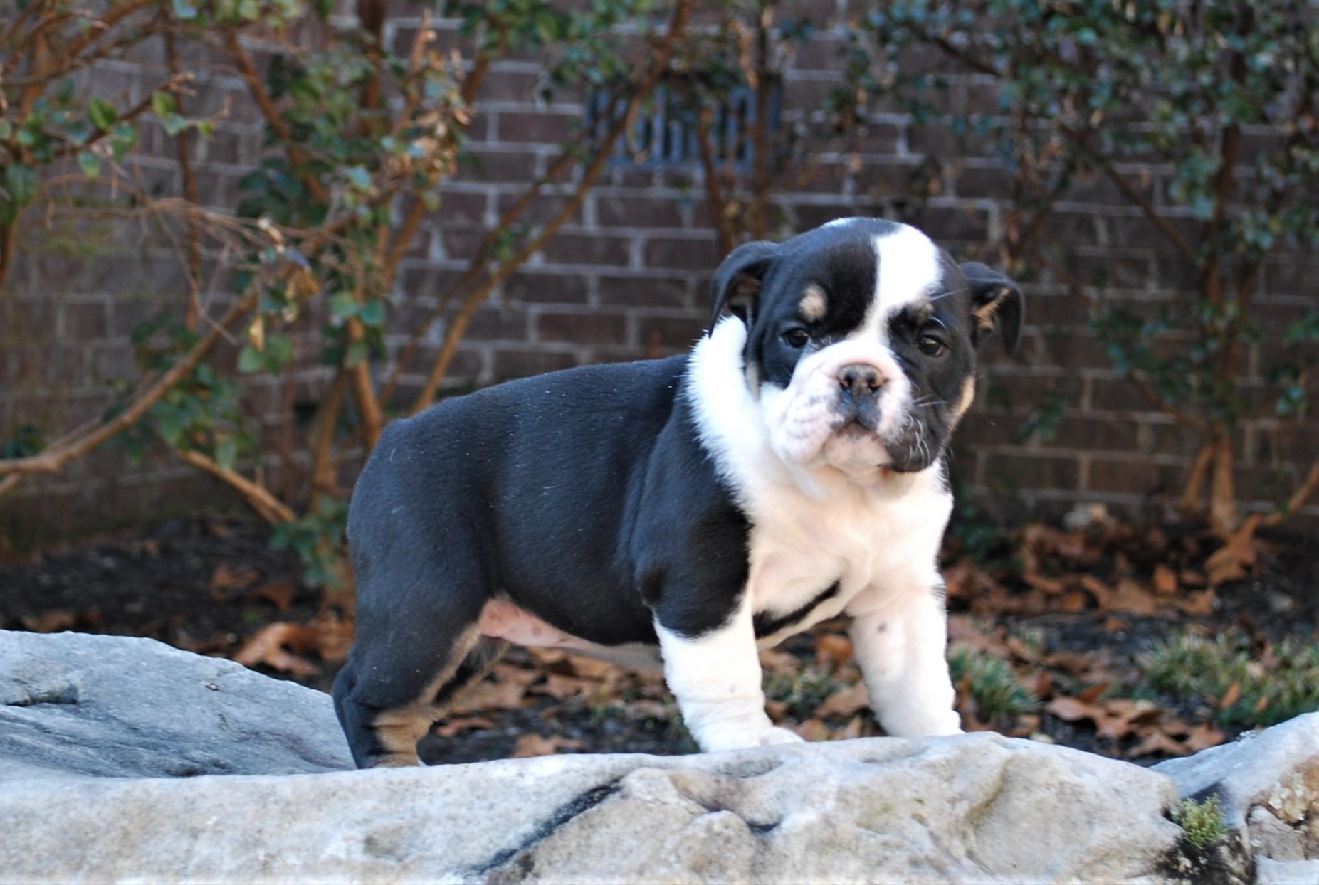 Patsie Olde English Bulldogge Puppy For Sale | Photo 2