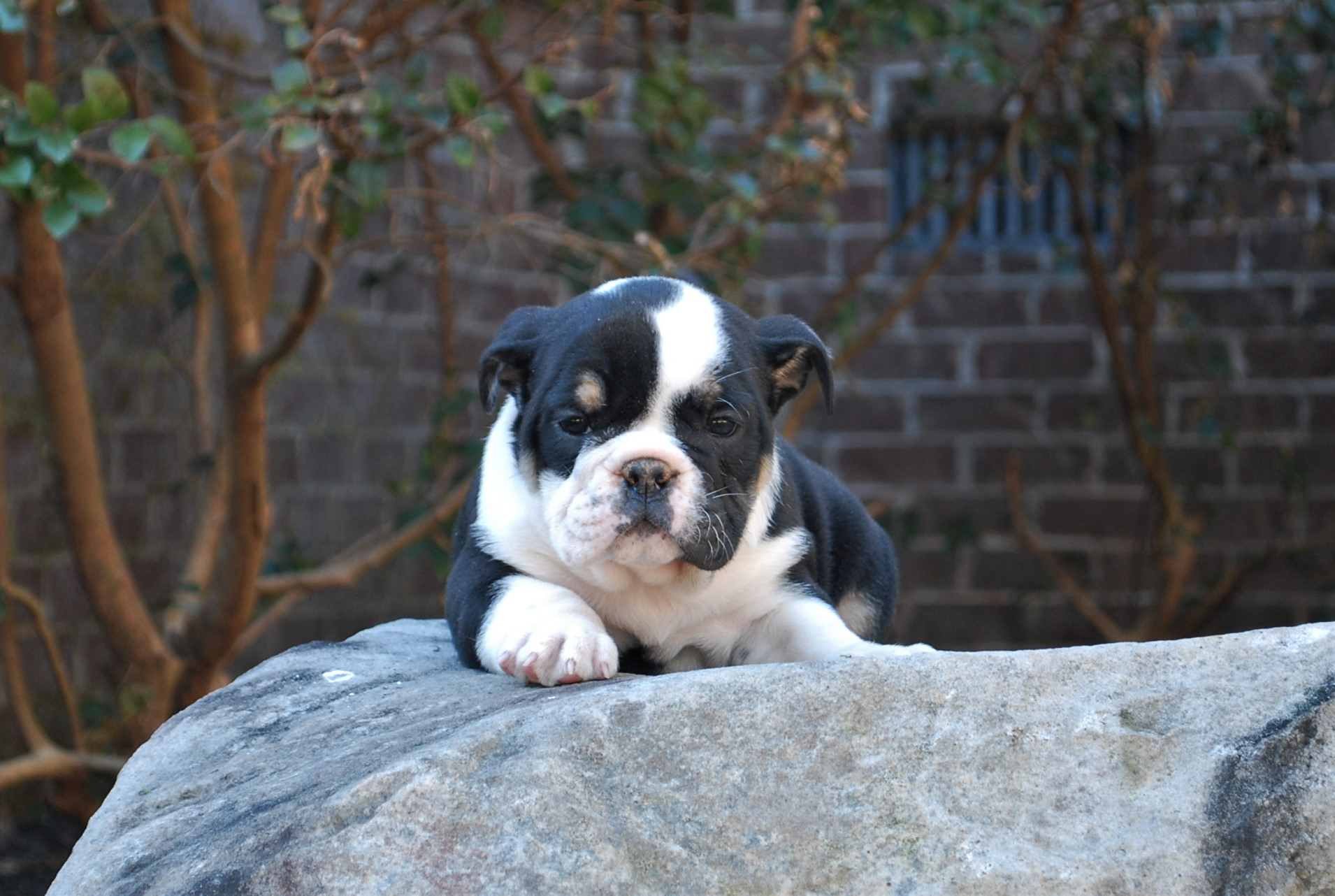 Patsie Olde English Bulldogge Puppy For Sale | Photo 4