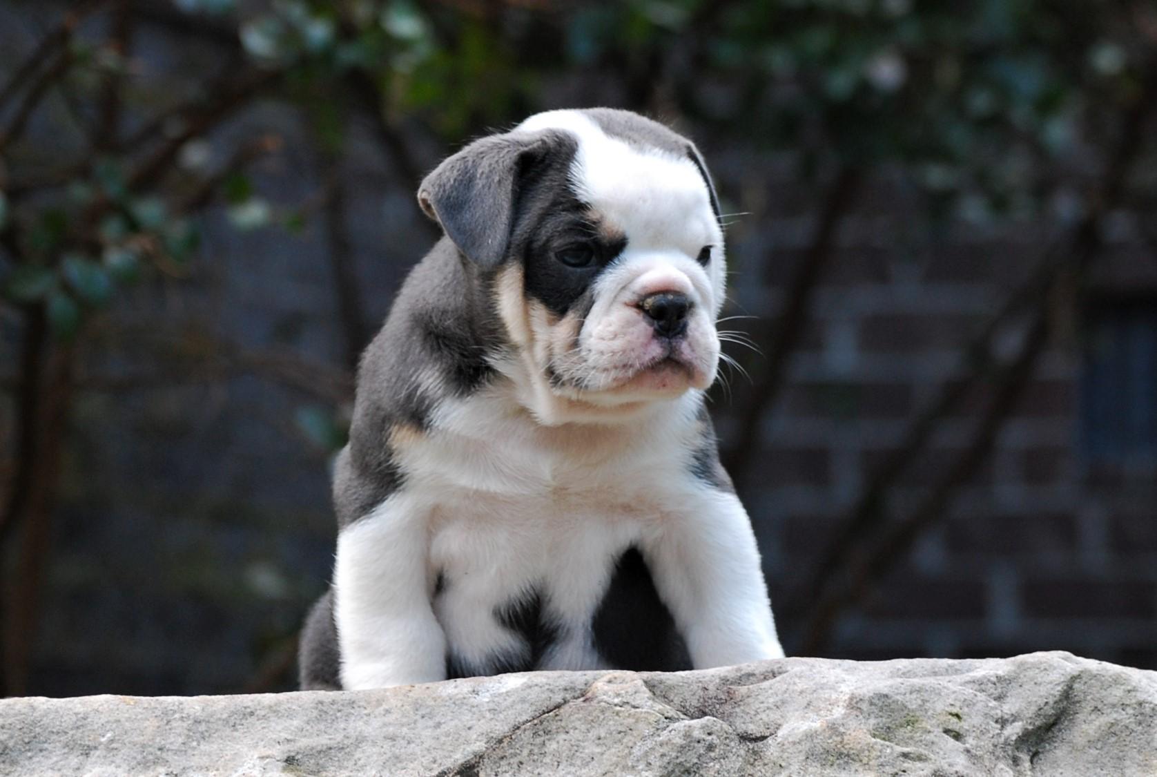 Reggie Olde English Bulldogge Puppy For Sale | Photo 2