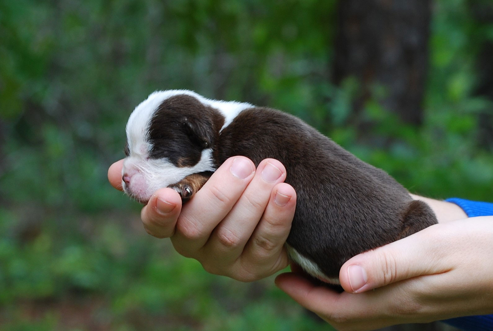 Sammy Olde English Bulldogge Puppy For Sale | Photo 0