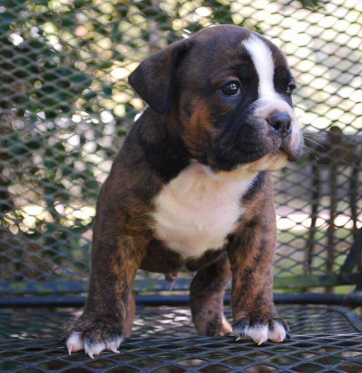 Stout Olde English Bulldogge Puppy For Sale   Photo 2