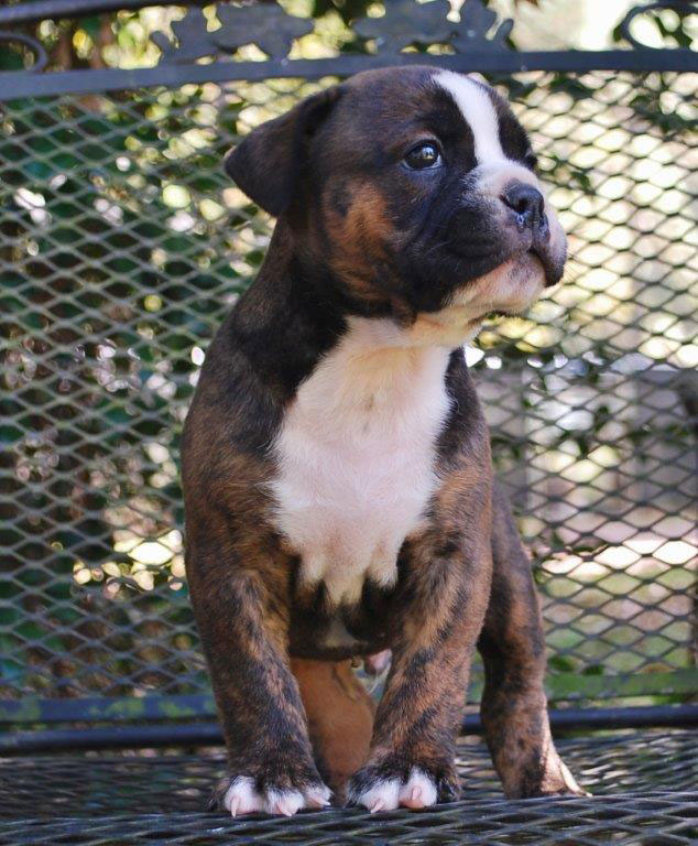 Stout Olde English Bulldogge Puppy For Sale   Photo 1