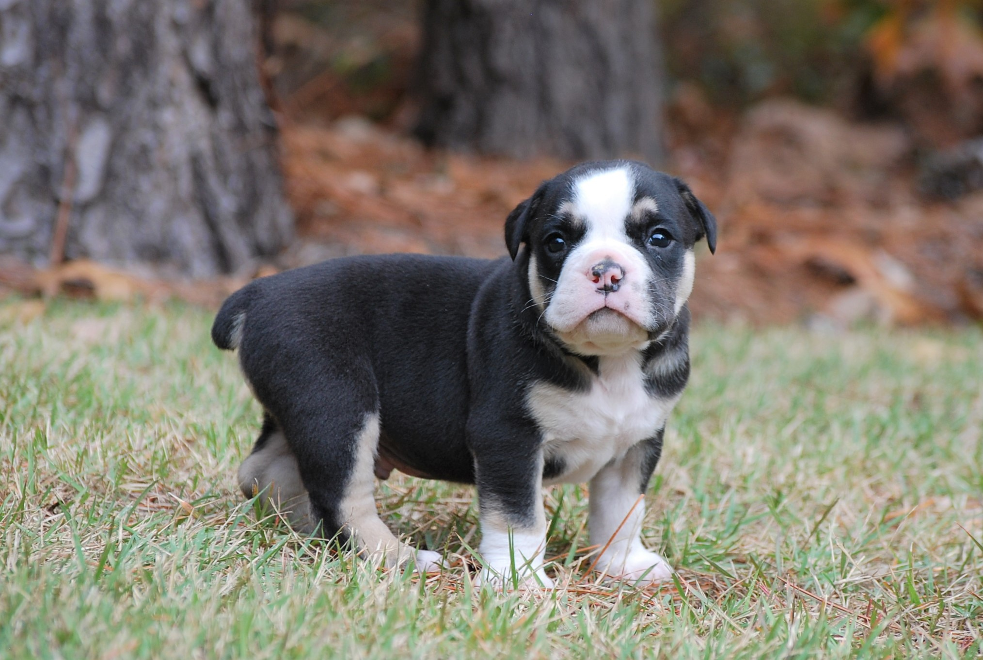 Thor Olde English Bulldogge Puppy For Sale   Photo 0