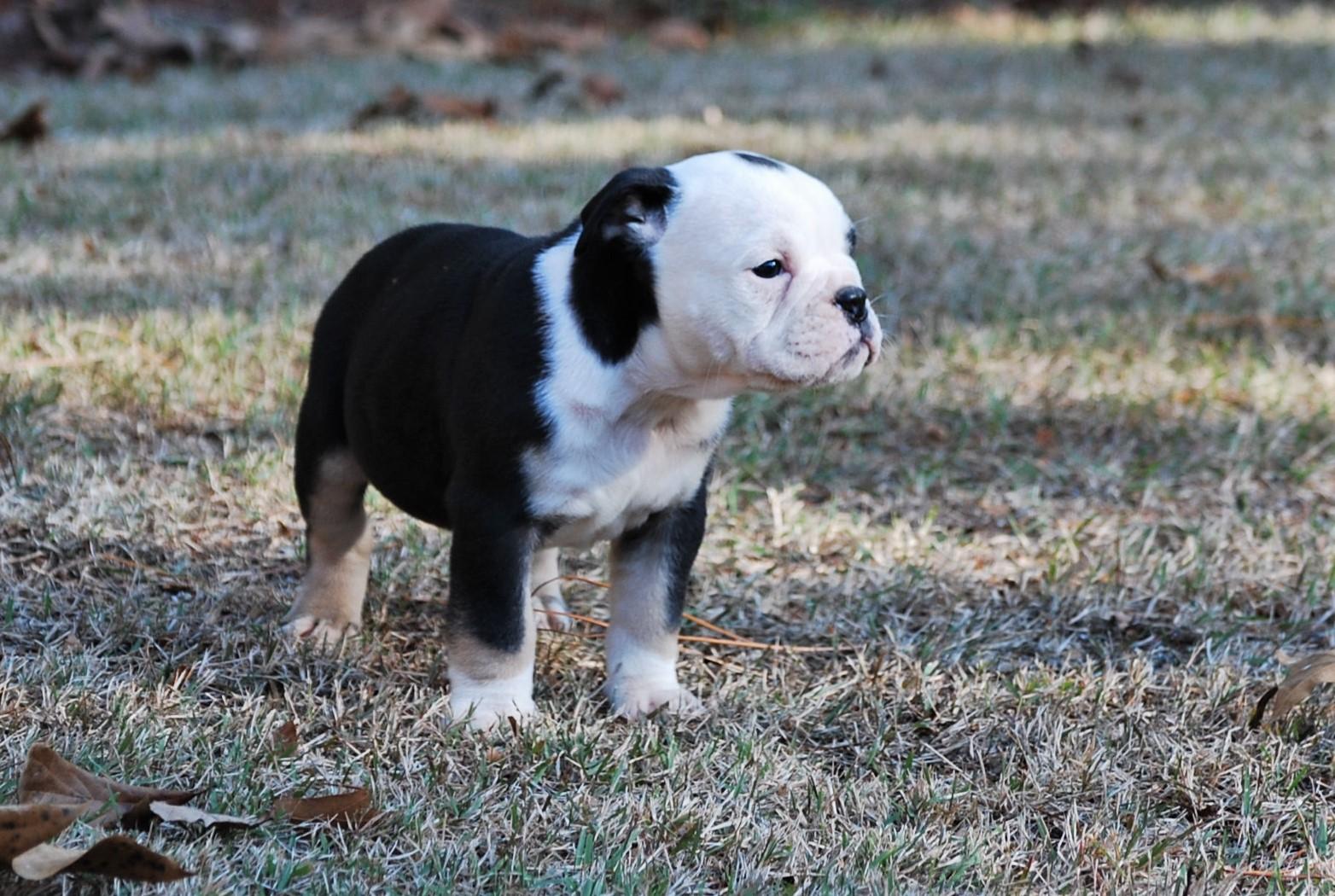 Thunder Olde English Bulldogge Puppy For Sale | Photo 2