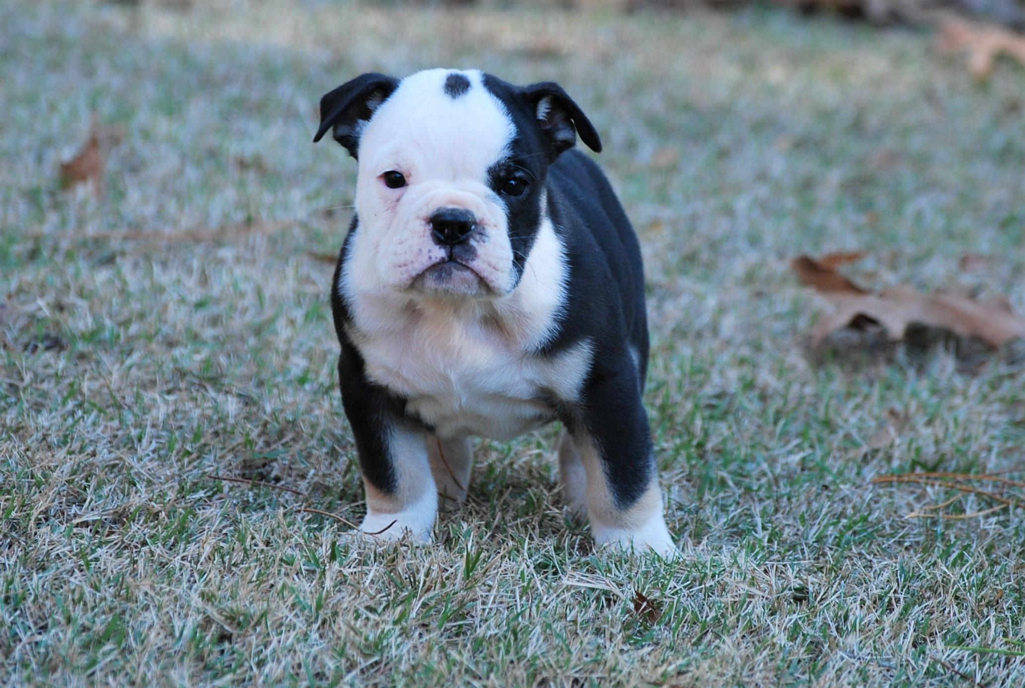 Thunder Olde English Bulldogge Puppy For Sale | Photo 0