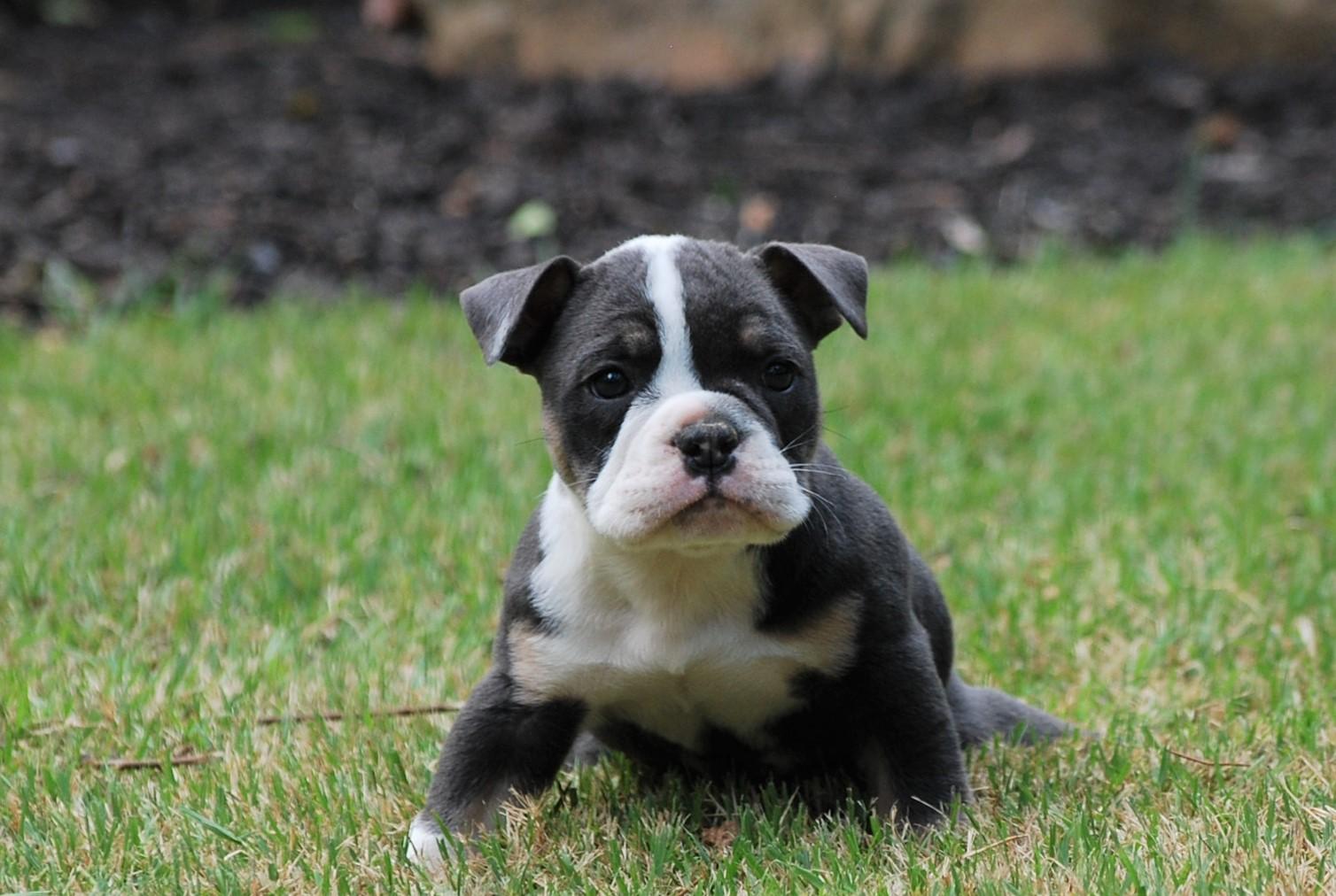 Vinny Olde English Bulldogge Puppy For Sale | Photo 2