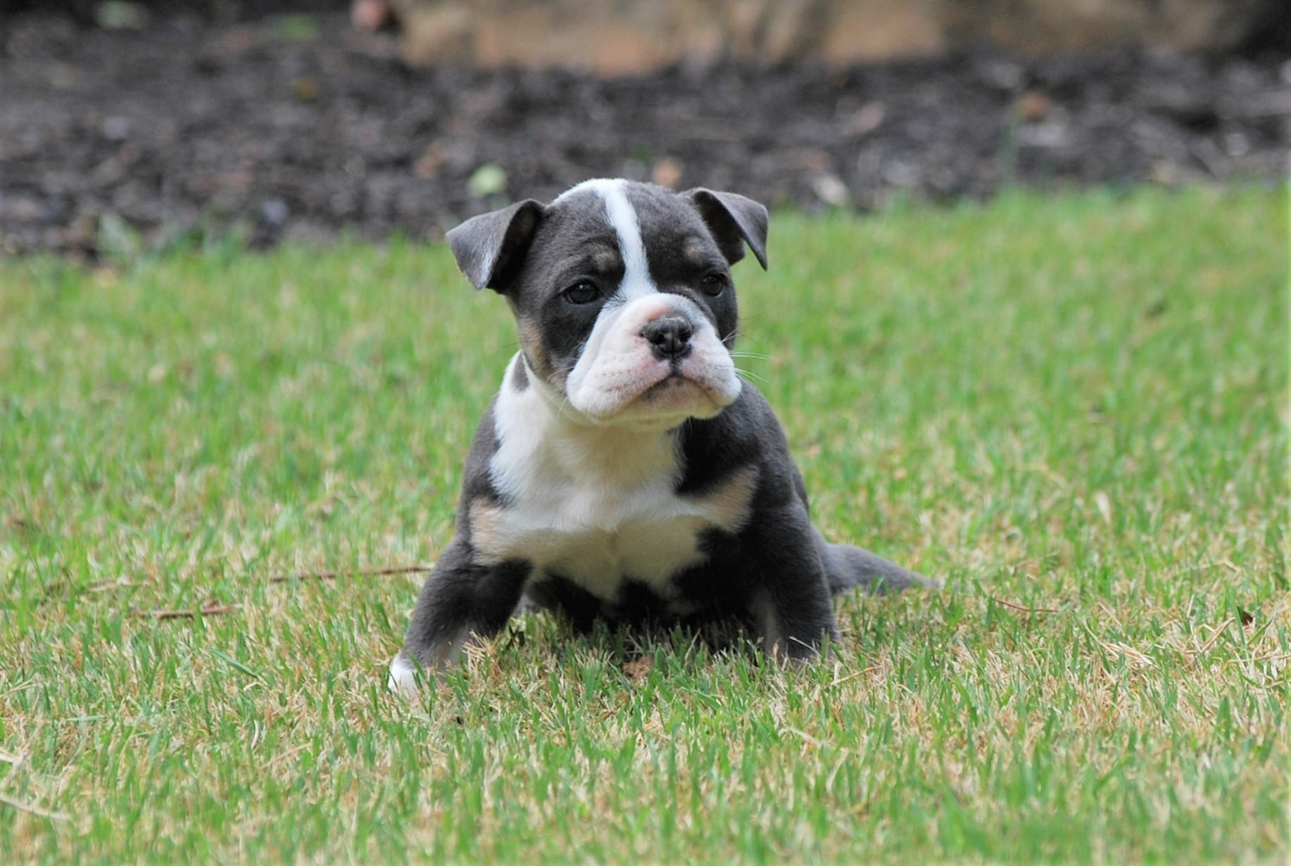 Vinny Olde English Bulldogge Puppy For Sale | Photo 3