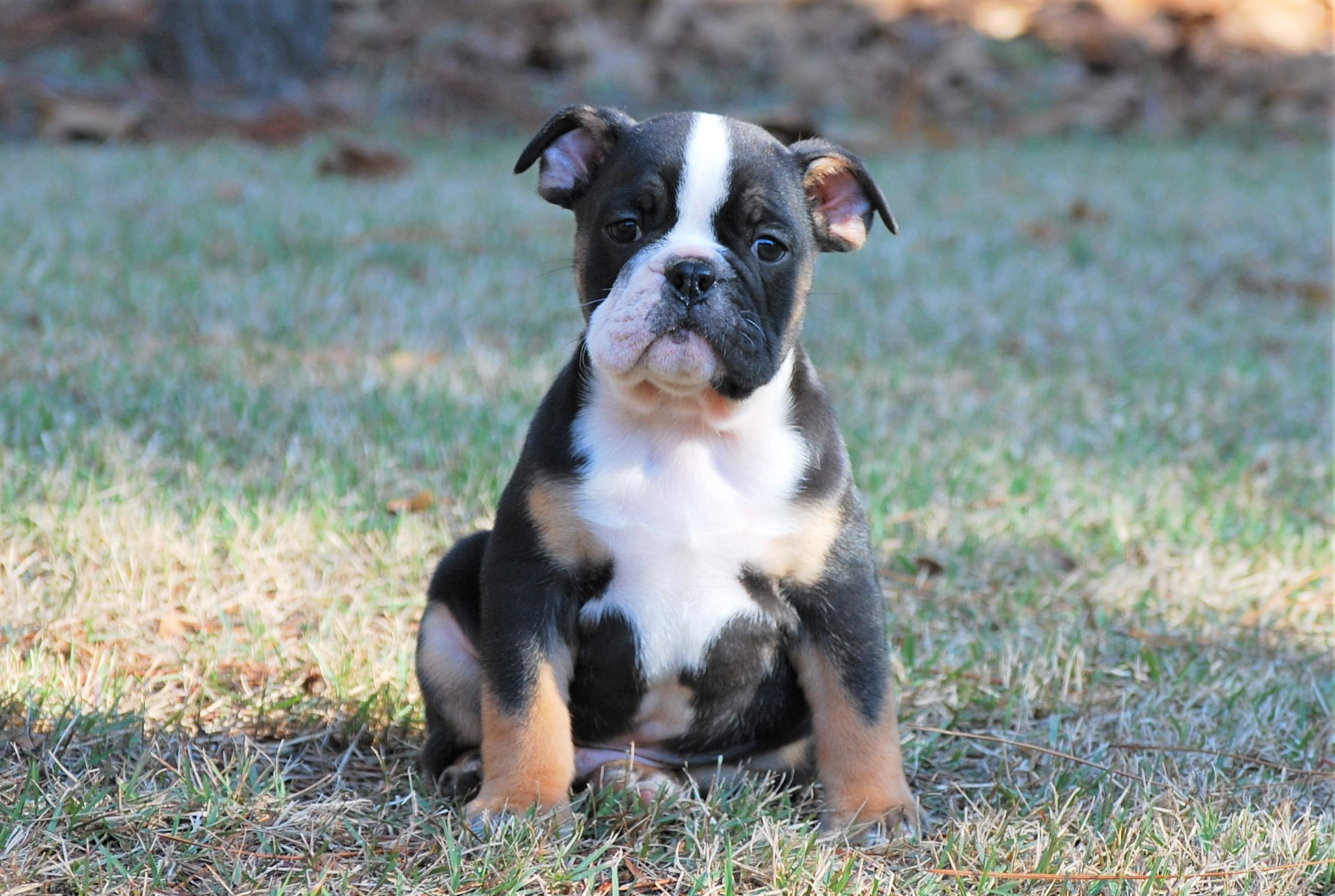Whisky Olde English Bulldogge Puppy For Sale | Photo 1