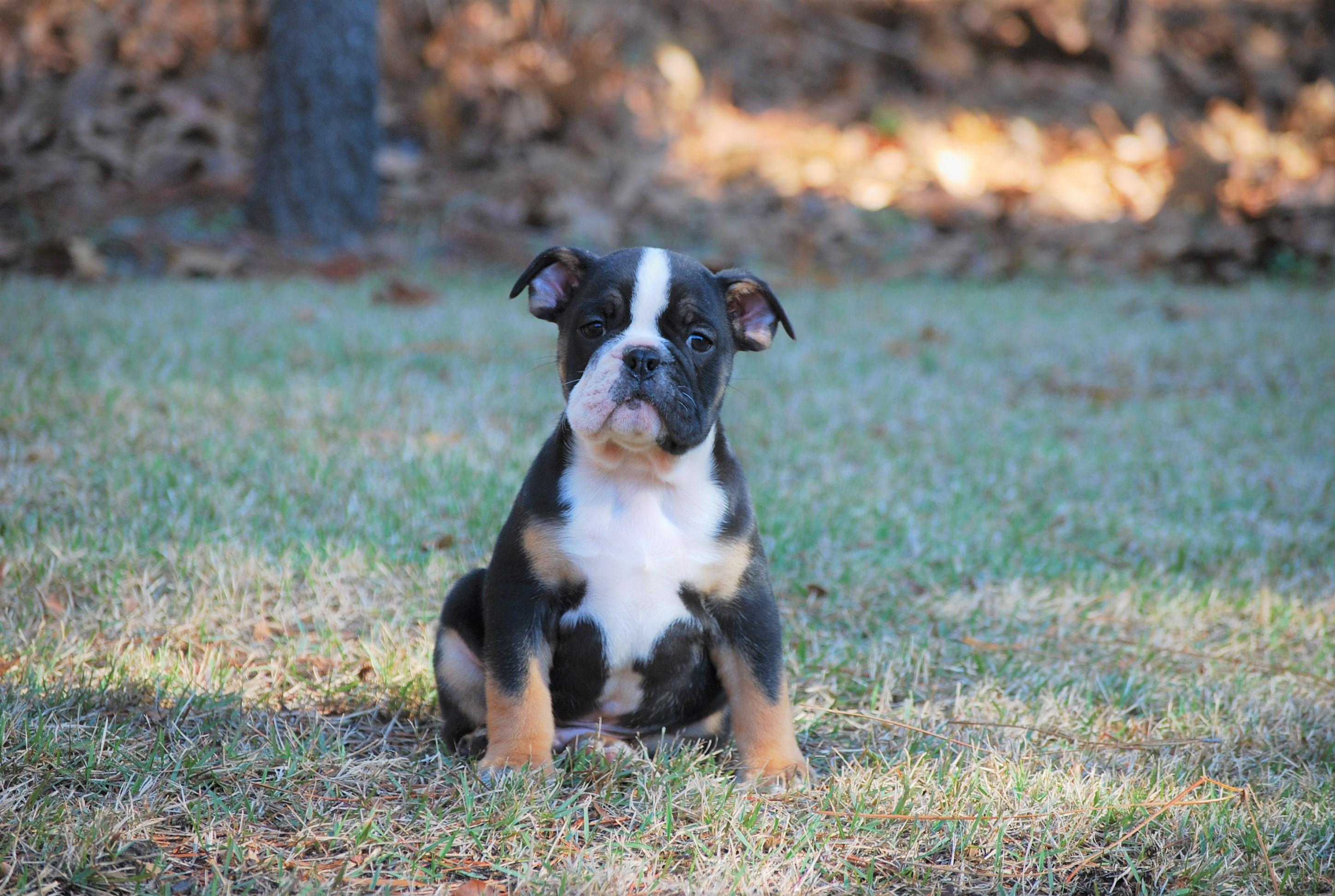 Whisky Olde English Bulldogge Puppy For Sale | Photo 2