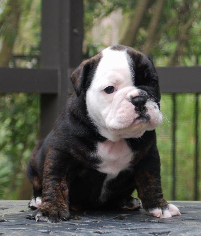 Zoe Olde English Bulldogge Puppy For Sale | Photo 2
